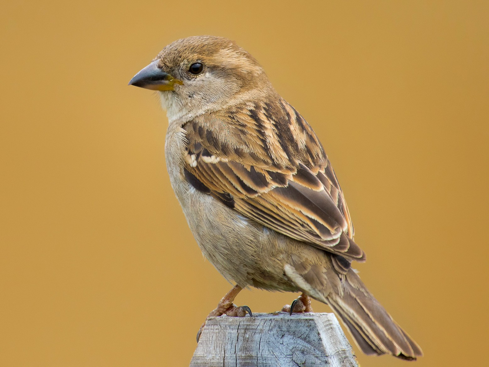 House Sparrow - Adam Jackson