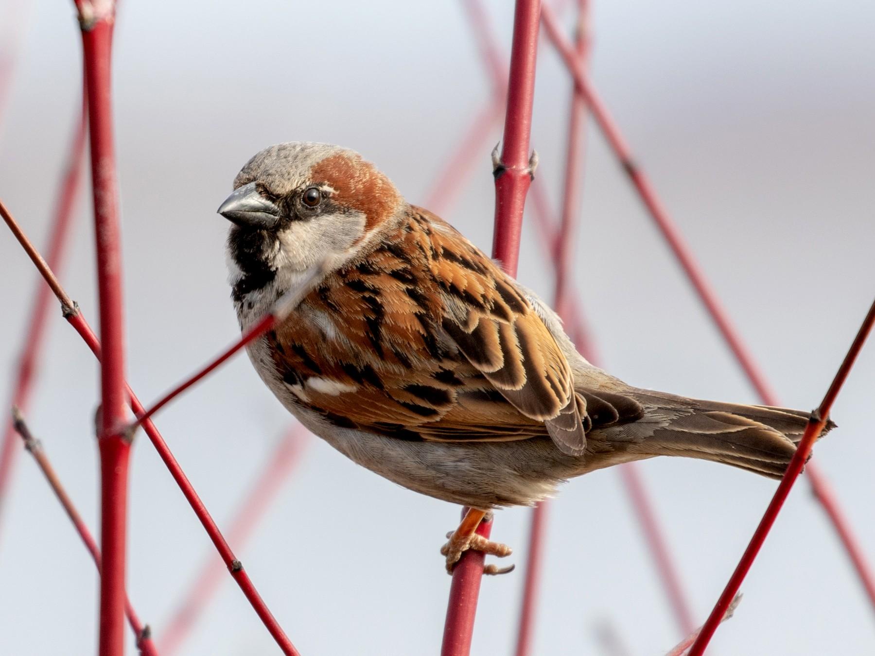 House Sparrow - Drew Weber