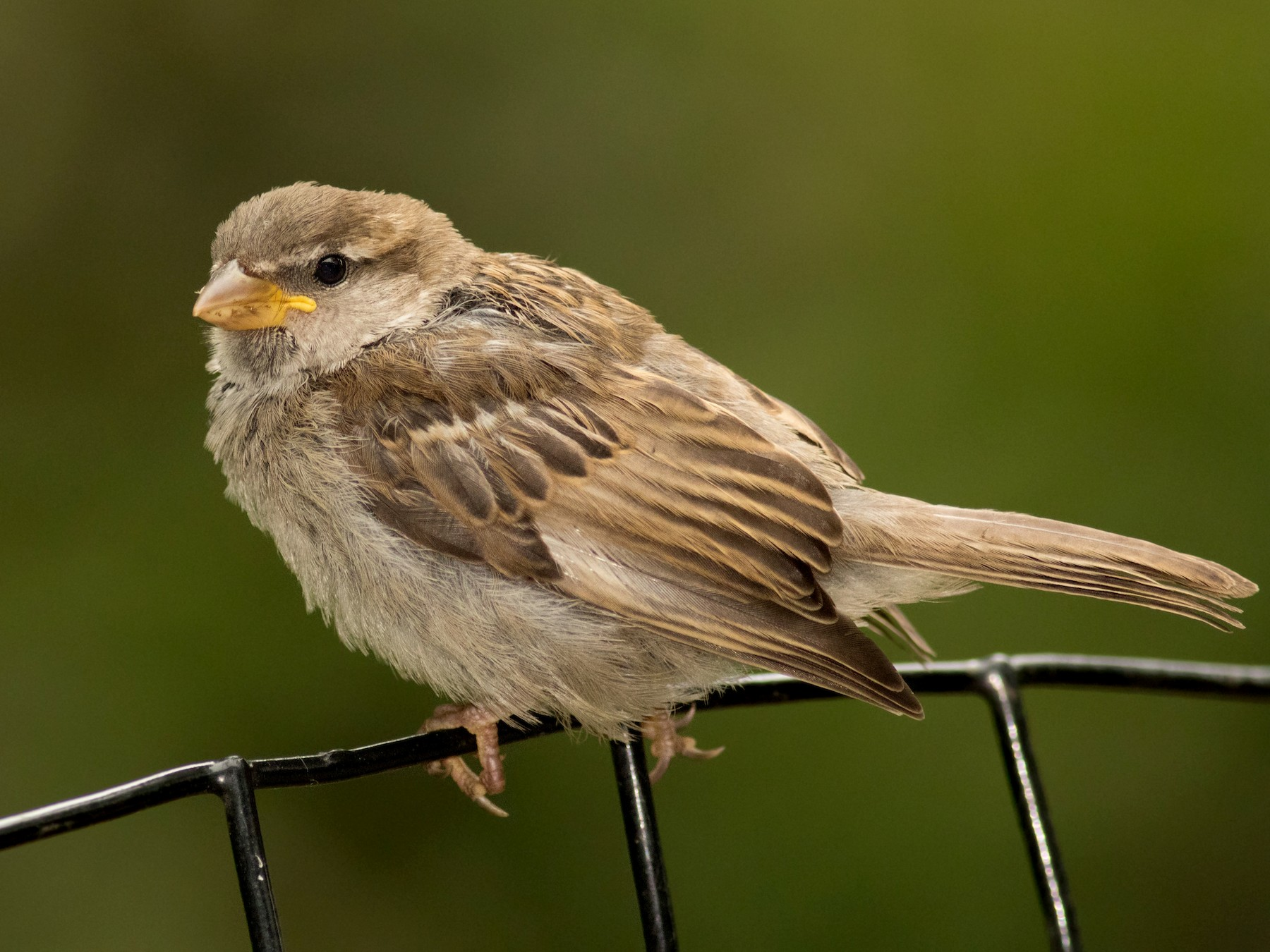 House Sparrow - August Davidson-Onsgard