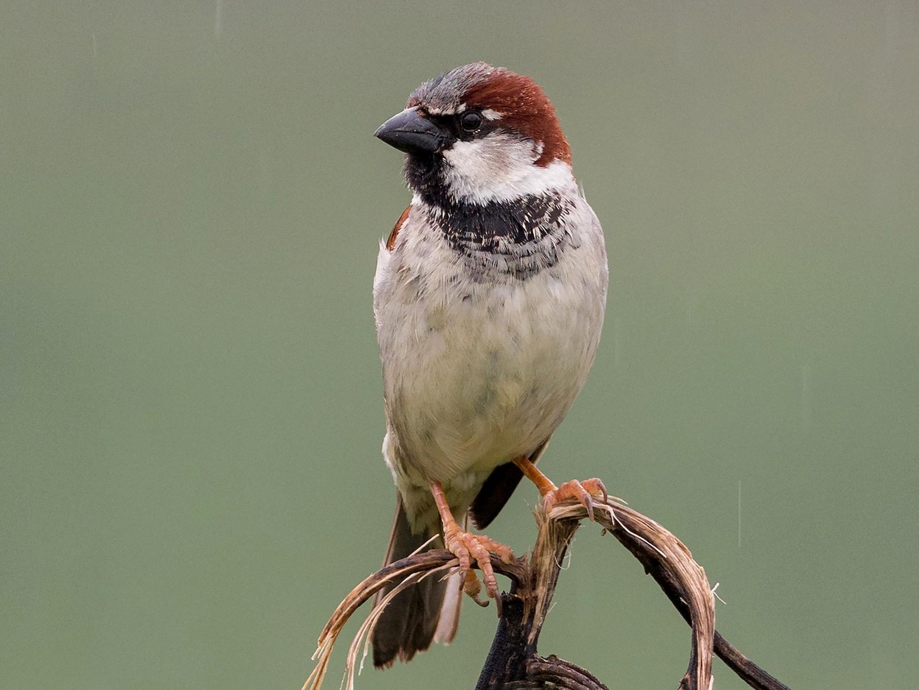 House Sparrow - Yeray Seminario