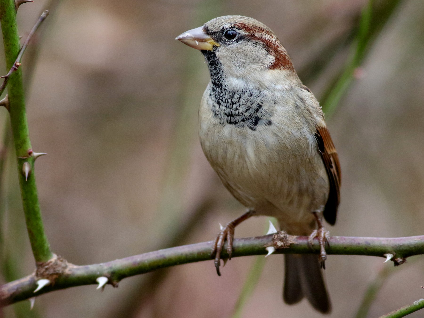 House Sparrow - Alex Wiebe