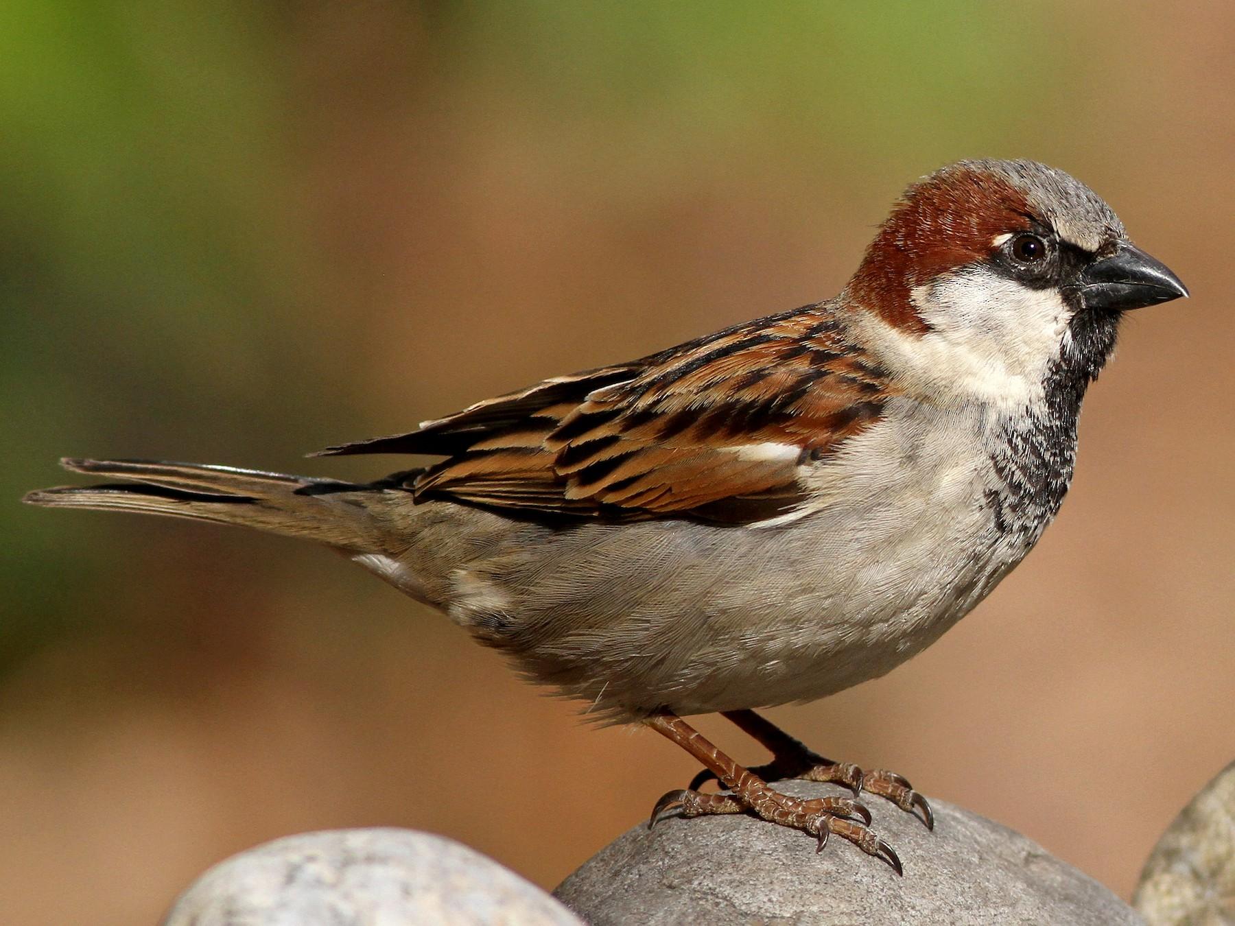 House Sparrow - Evan Lipton
