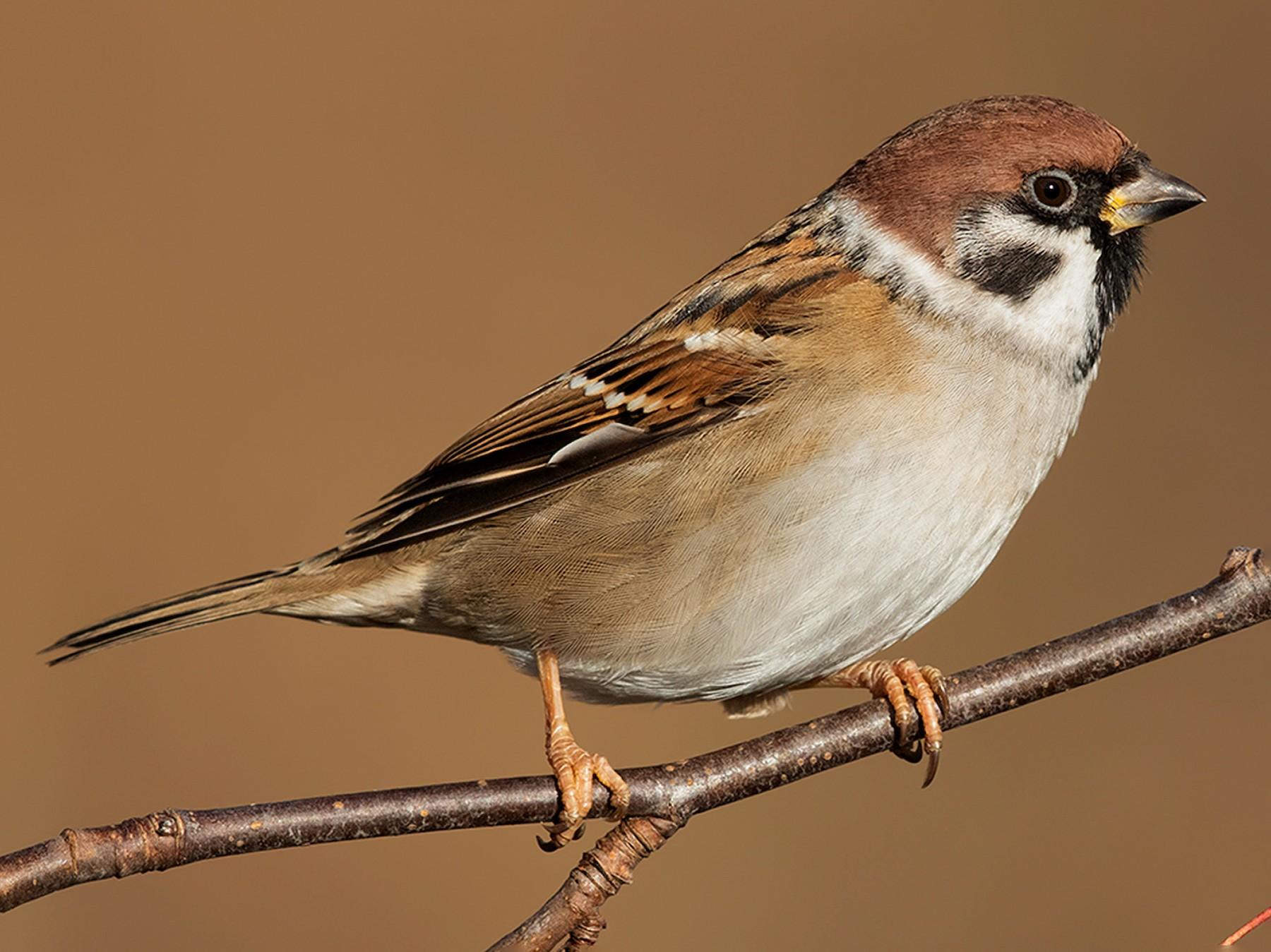 Eurasian Tree Sparrow - Ivan Sjögren
