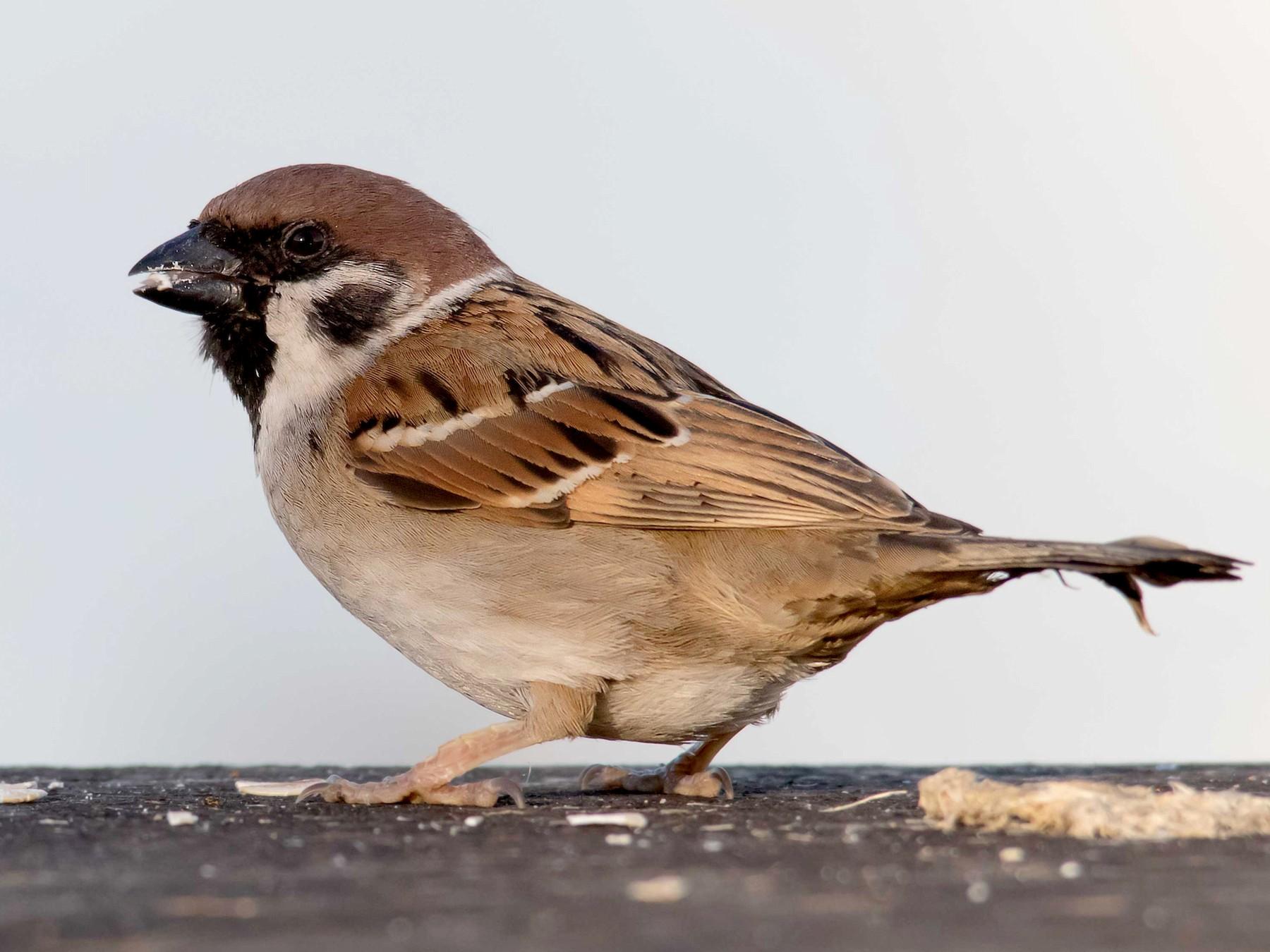 Eurasian Tree Sparrow - Andrew Allen