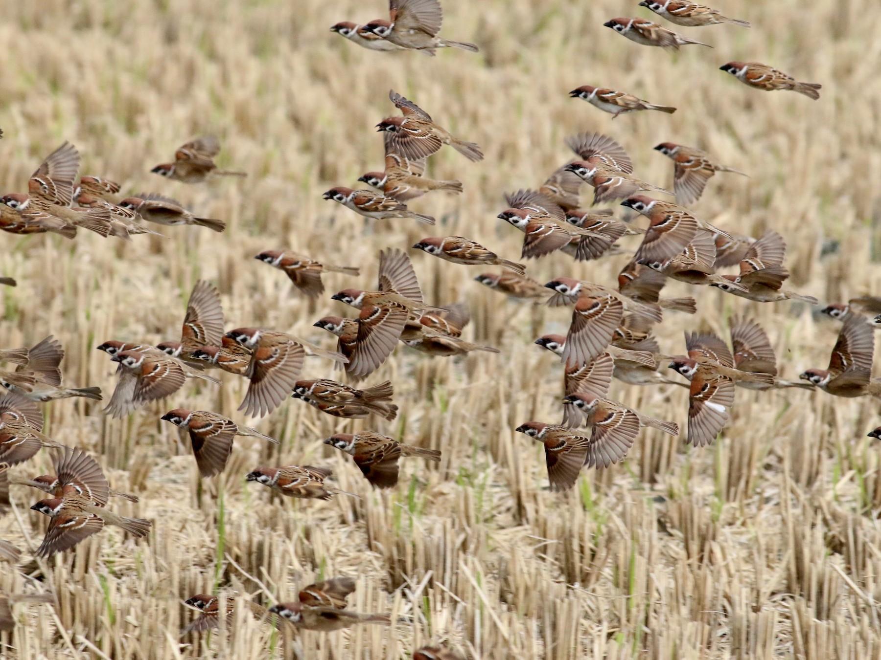 Eurasian Tree Sparrow - Cassie  Liu