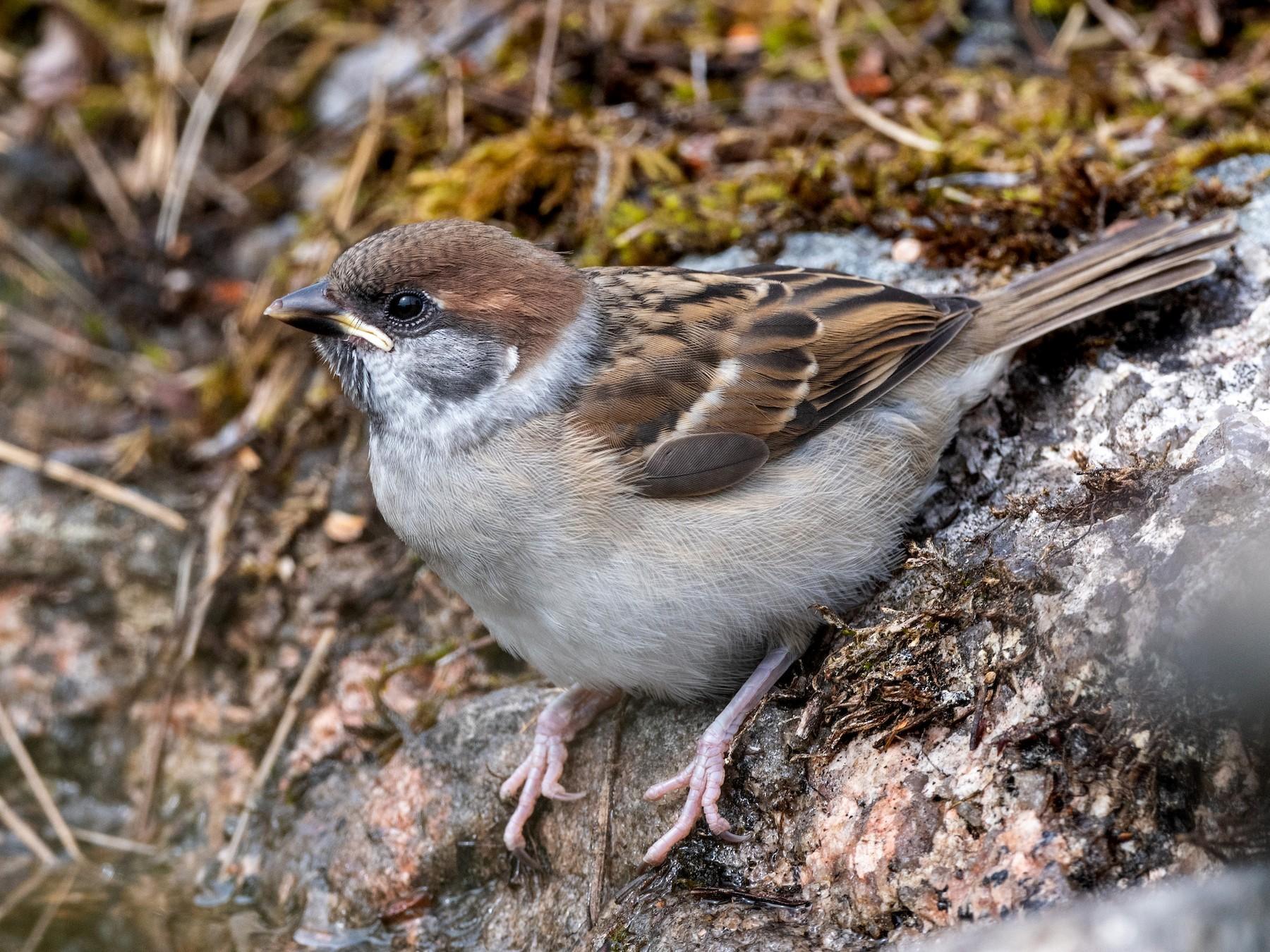 Eurasian Tree Sparrow - Hans Norelius