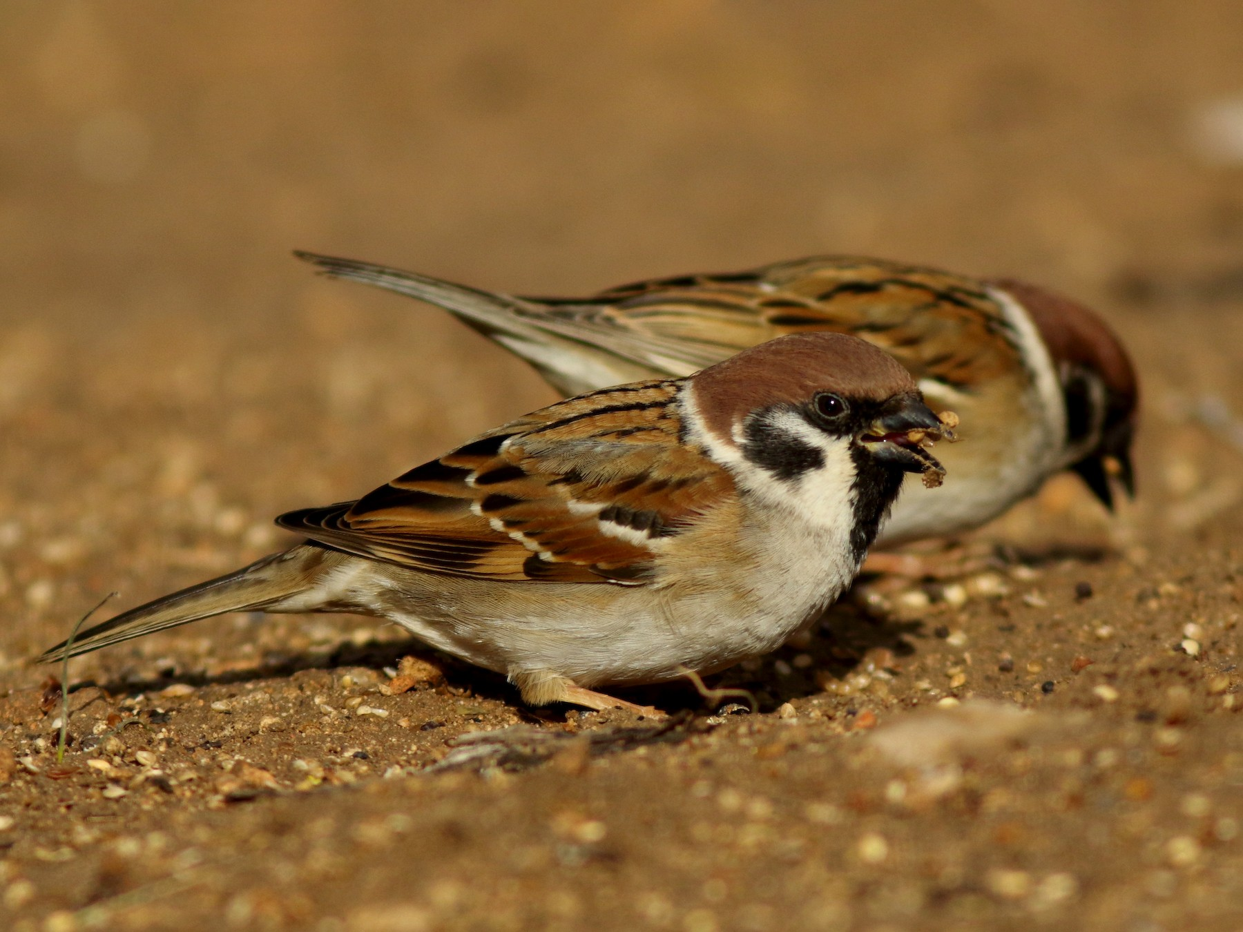Eurasian Tree Sparrow - Rafael Merchante