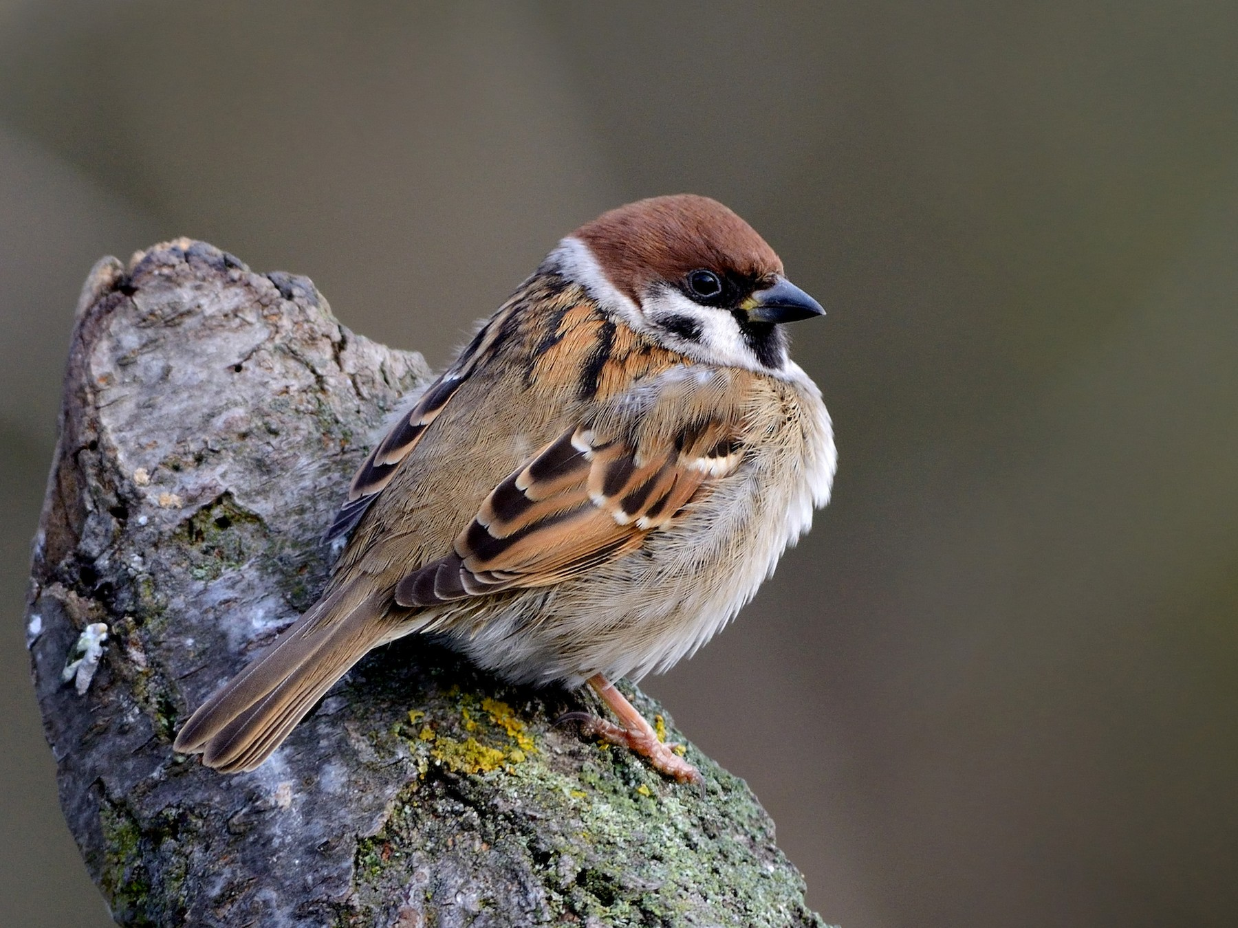 Eurasian Tree Sparrow - Pavel Štěpánek