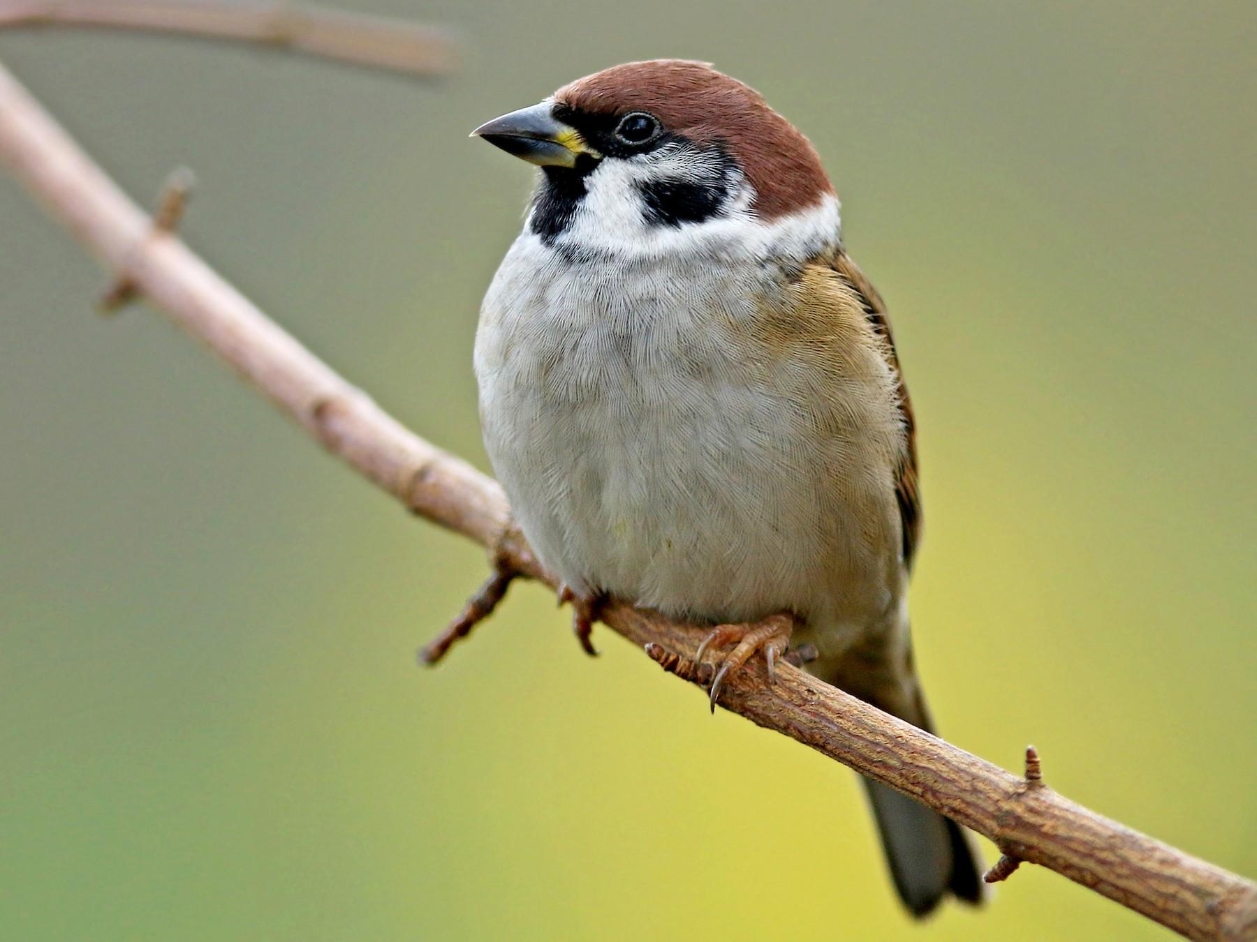 Eurasian Tree Sparrow - Volker Hesse