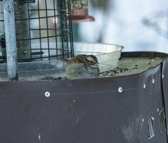 ©Beth Olson - White-throated Sparrow