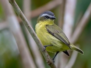 - Yellow-bellied Tyrannulet