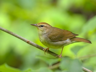 - Swainson's Warbler