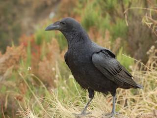 - Fan-tailed Raven
