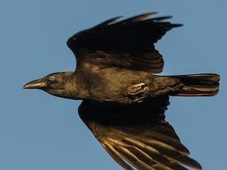 - Bismarck Crow