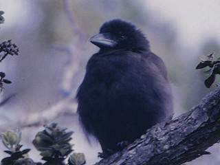 - Hawaiian Crow