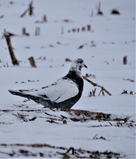 Rock Pigeon (Feral Pigeon), ML306042291