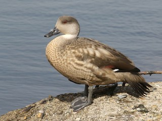 - Crested Duck