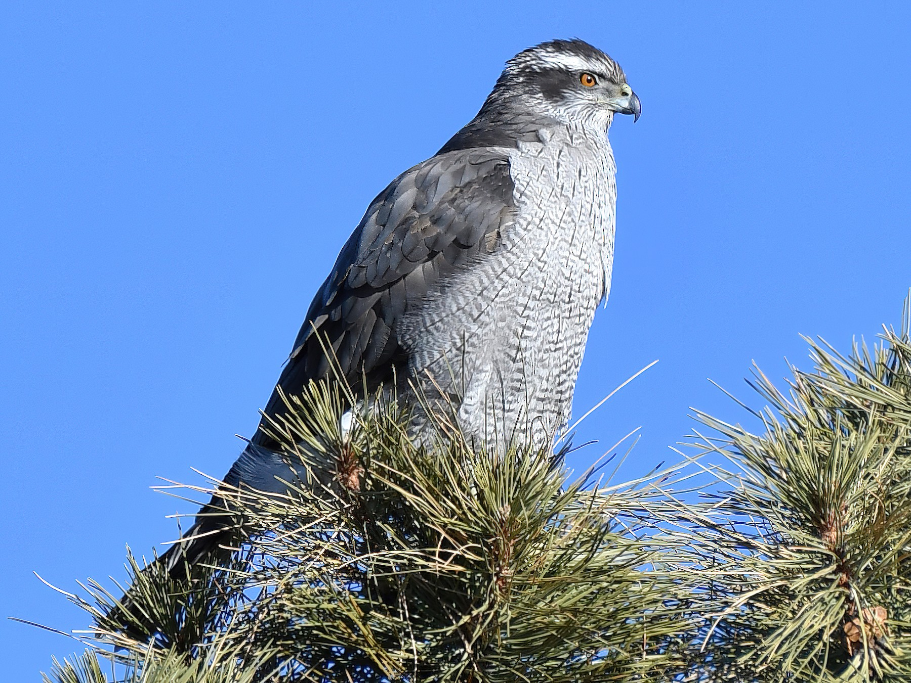 Northern Goshawk - Robert Post