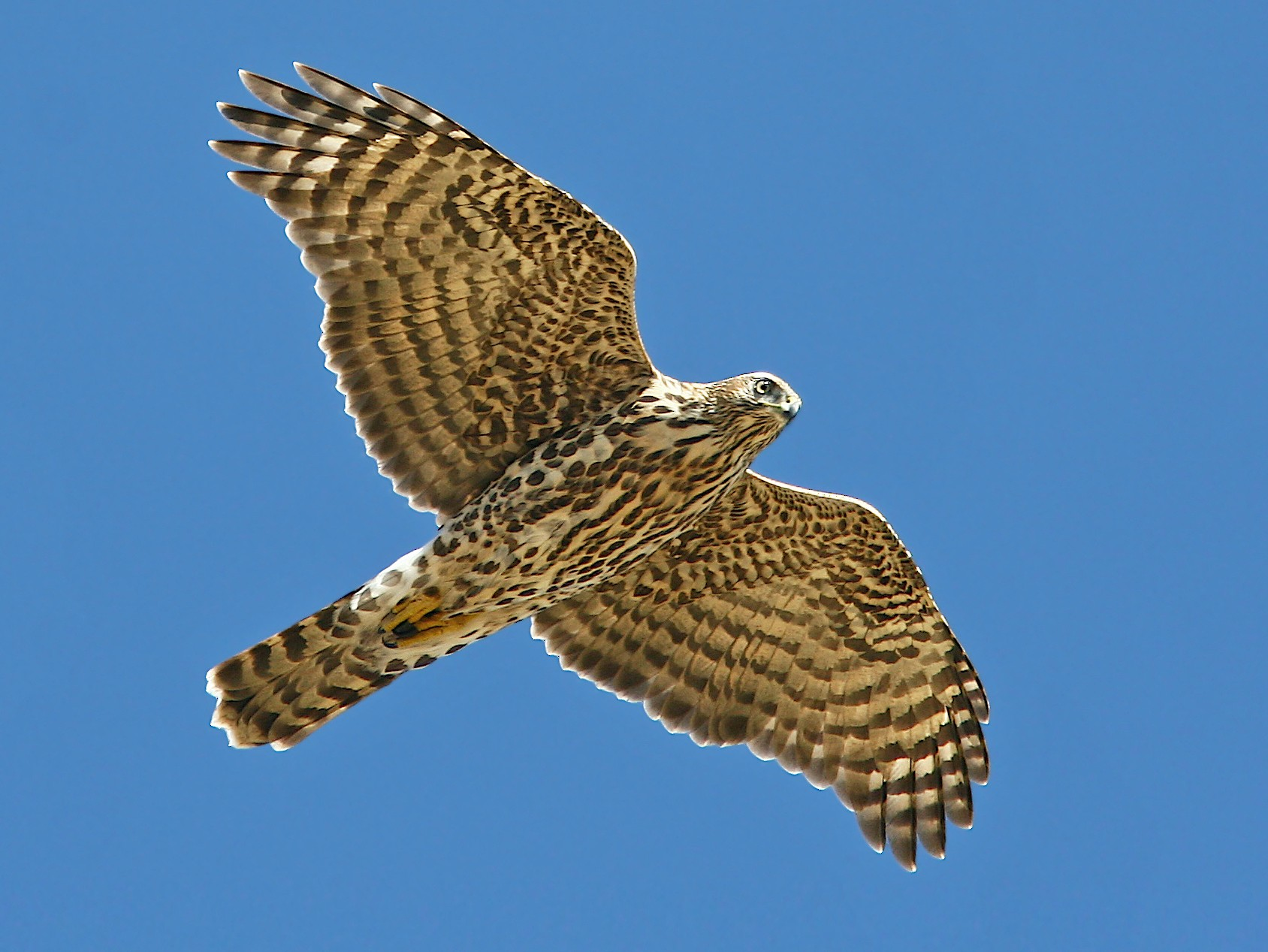 Northern Goshawk - Jerry Liguori