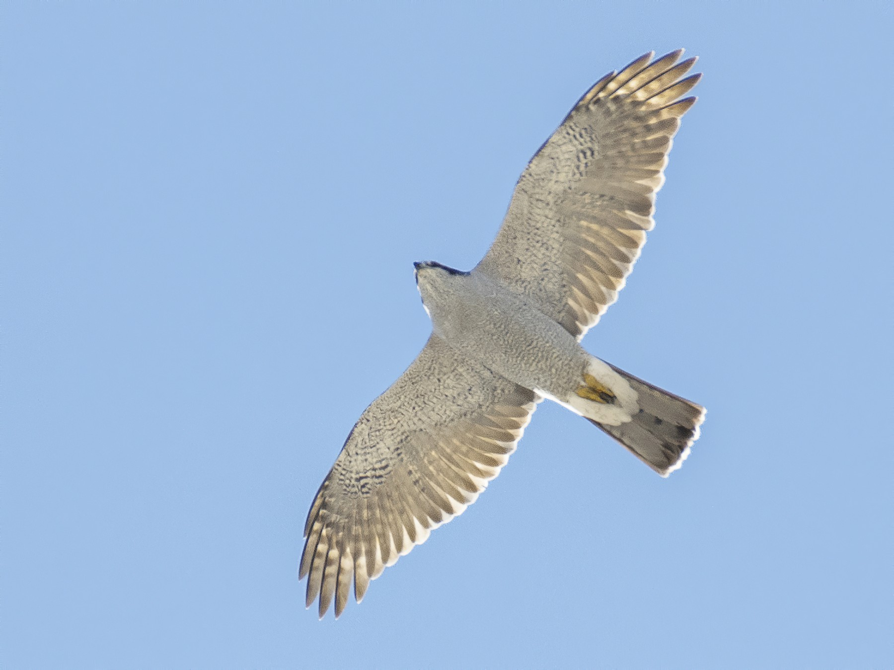 Northern Goshawk - Anonymous eBirder