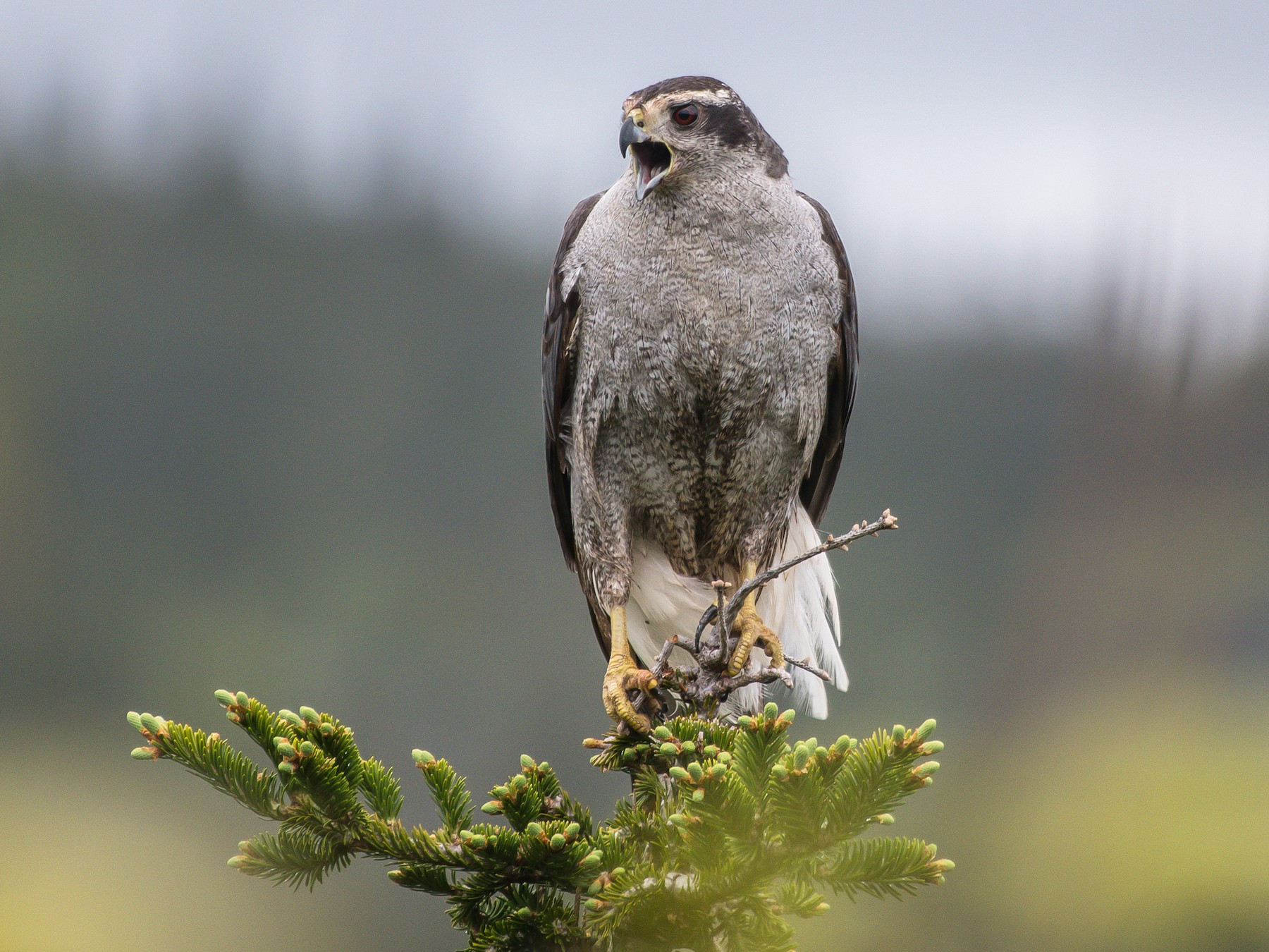 Northern Goshawk - Frank King