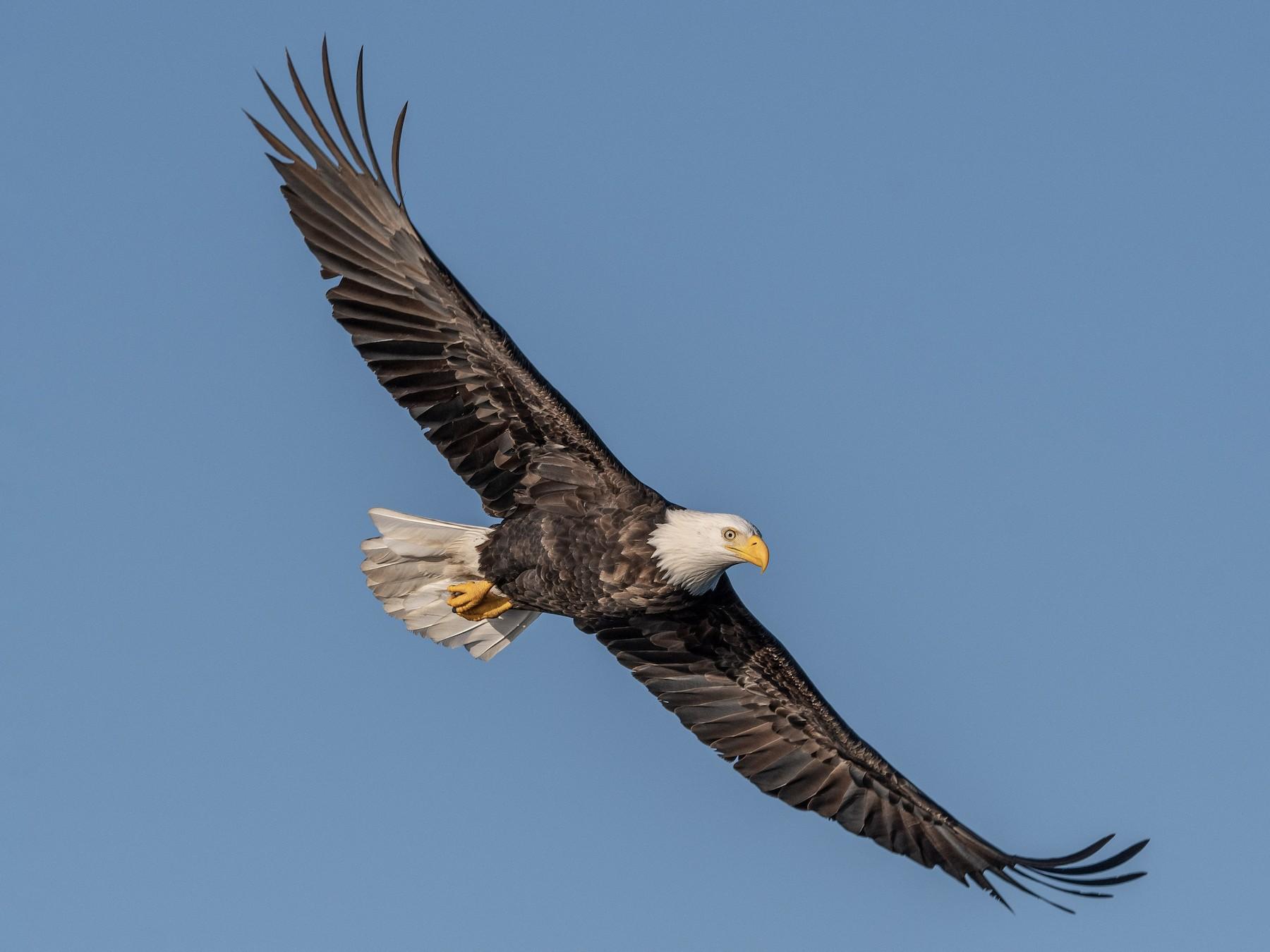 Bald Eagle - Mason Maron