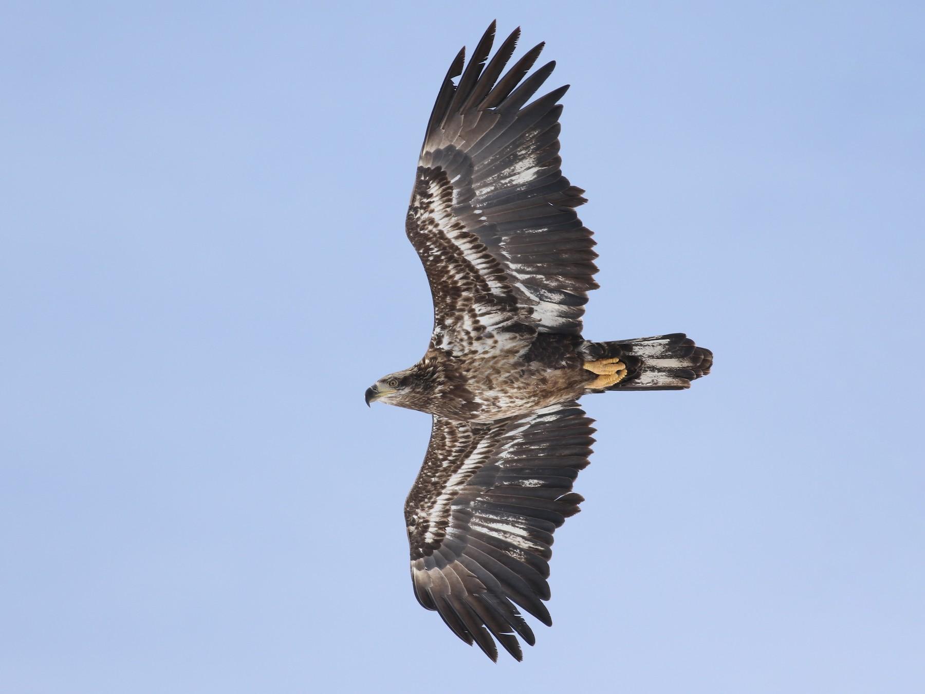 Bald Eagle - Jonathan Eckerson