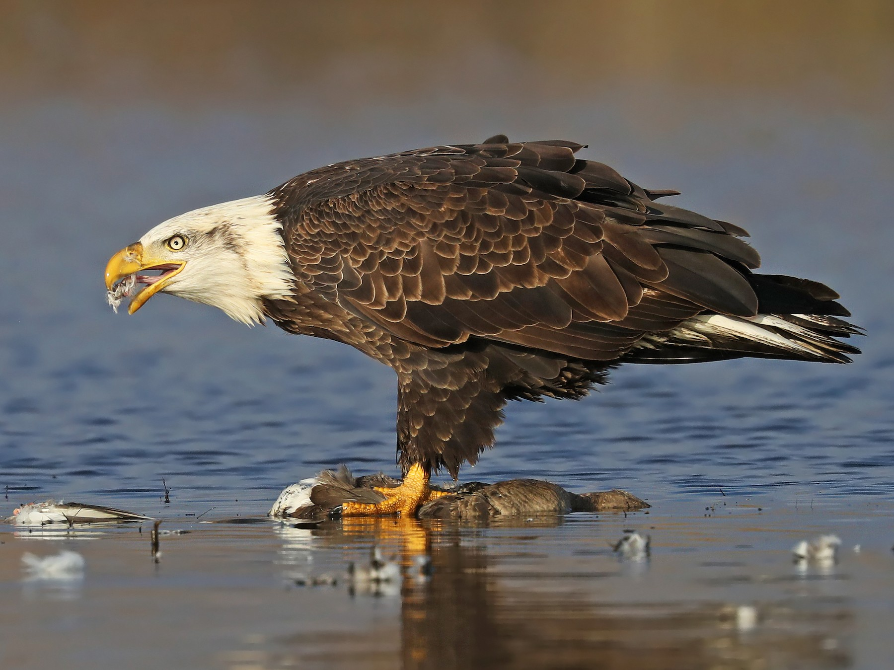 Bald Eagle - Matt Davis
