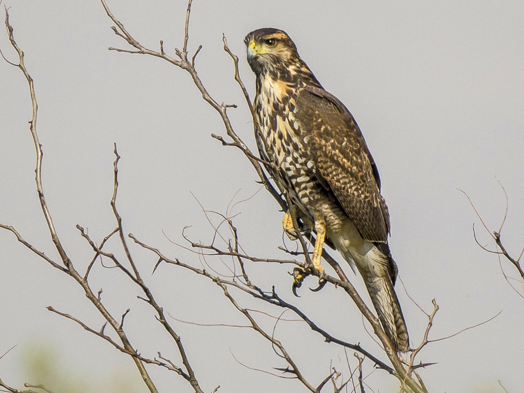Harris's Hawk - Ignacio Zapata