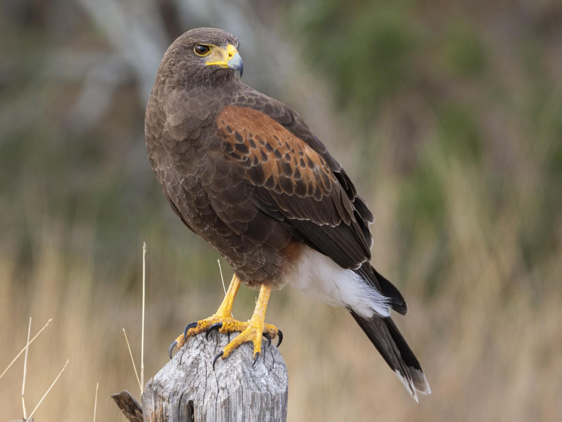 Harris's Hawk - Bryan Calk