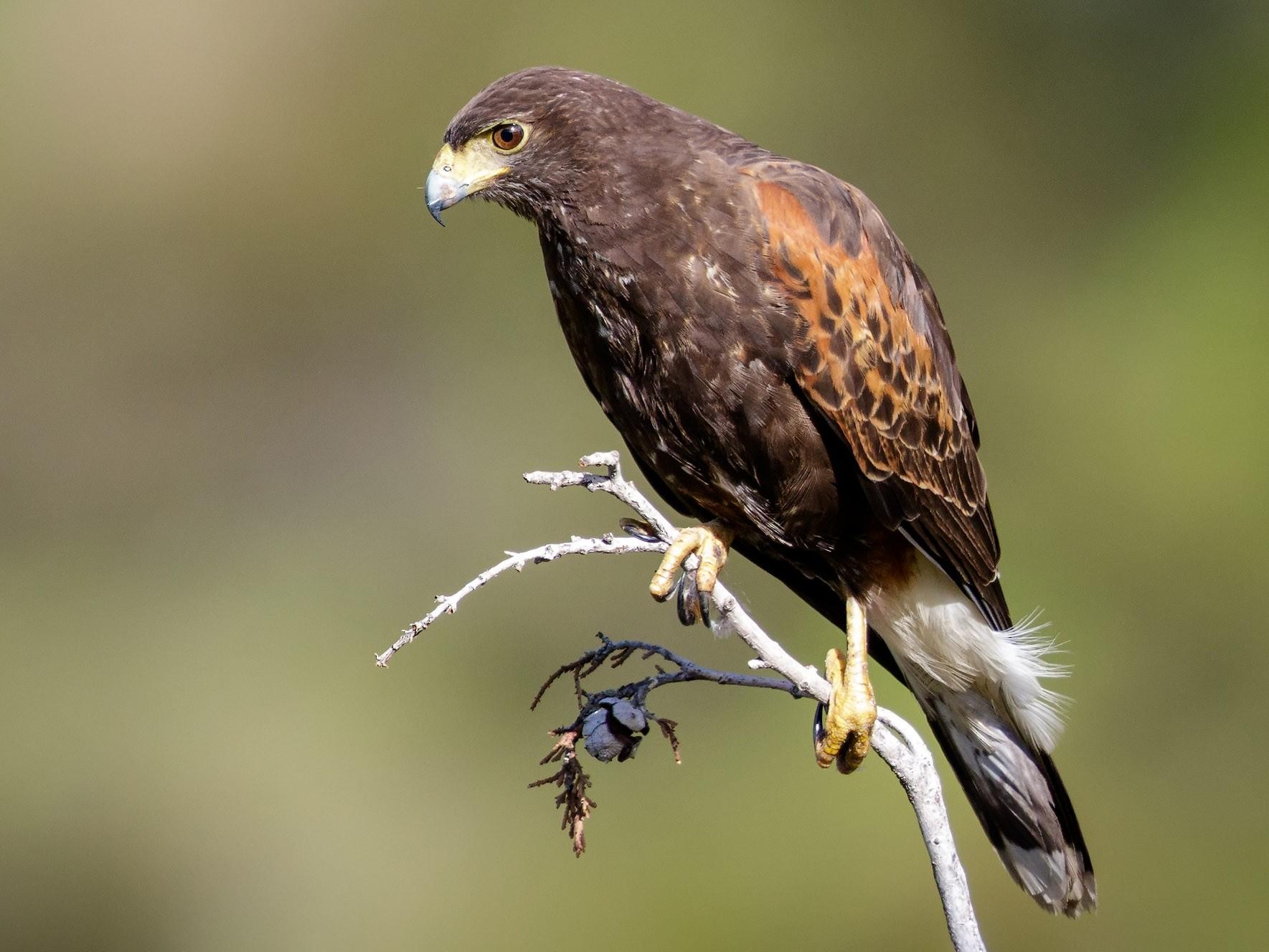 Harris's Hawk - Pio Marshall