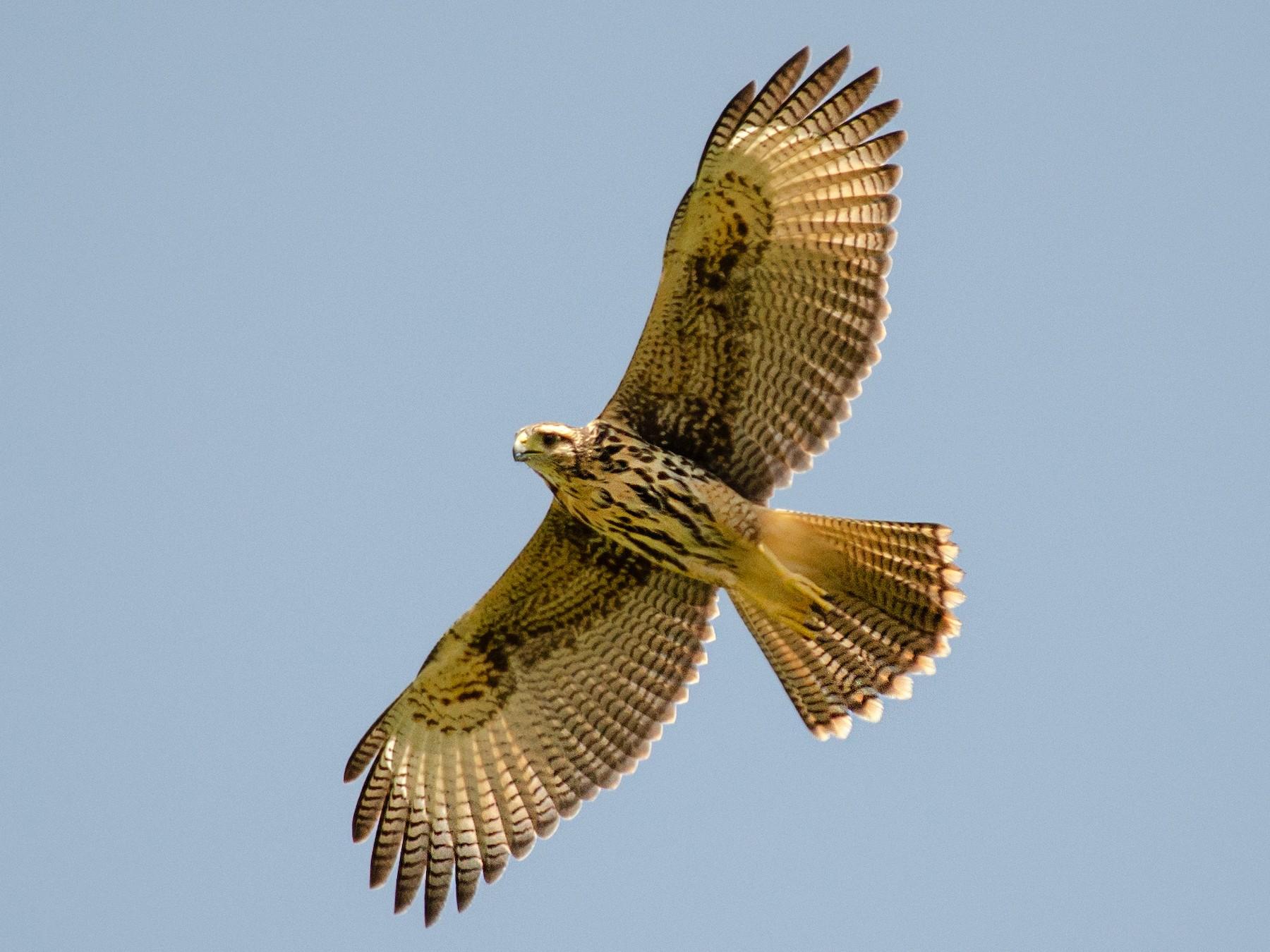 Harris's Hawk - Iván Eroles