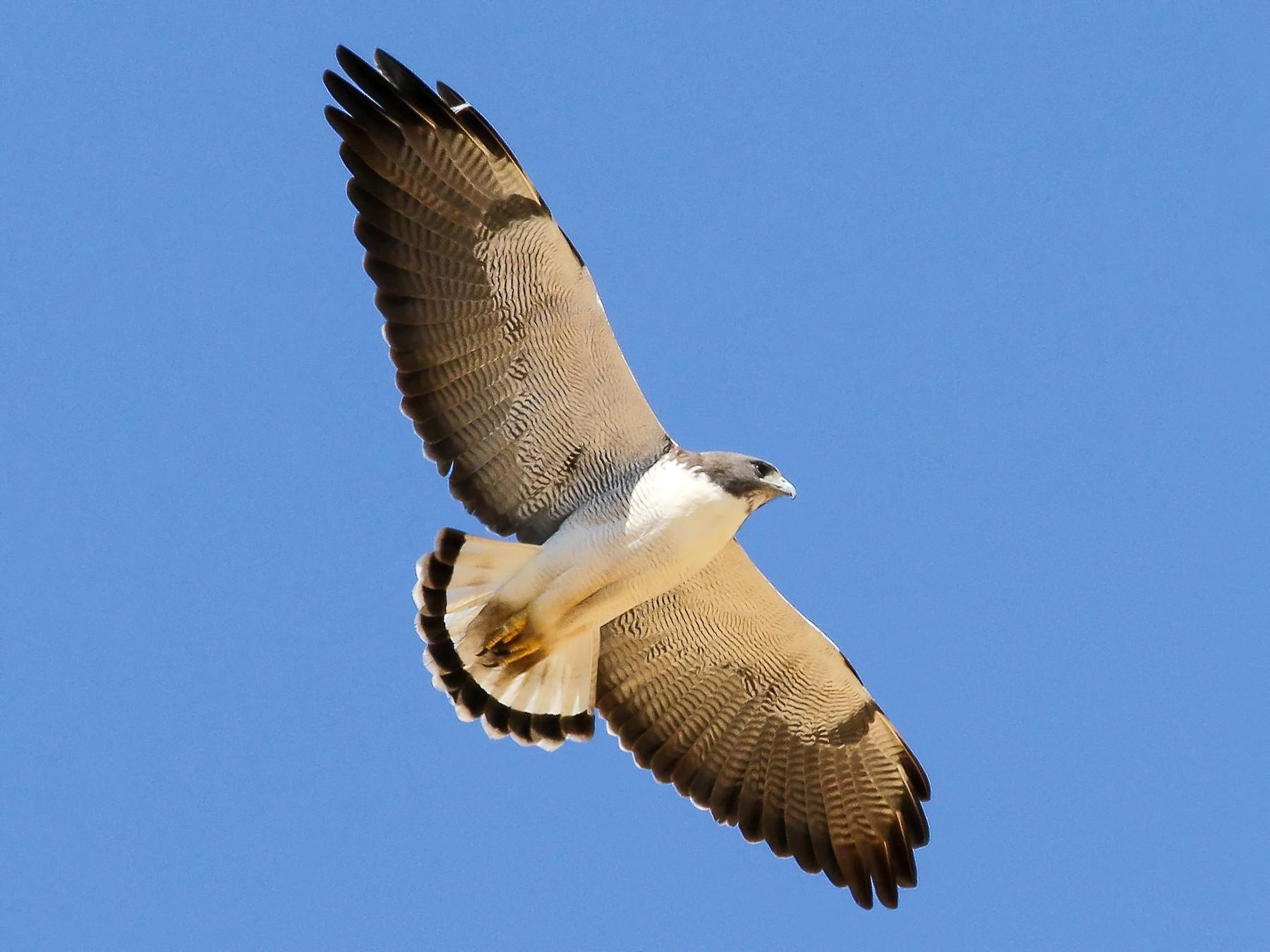White-tailed Hawk - Justin Bosler