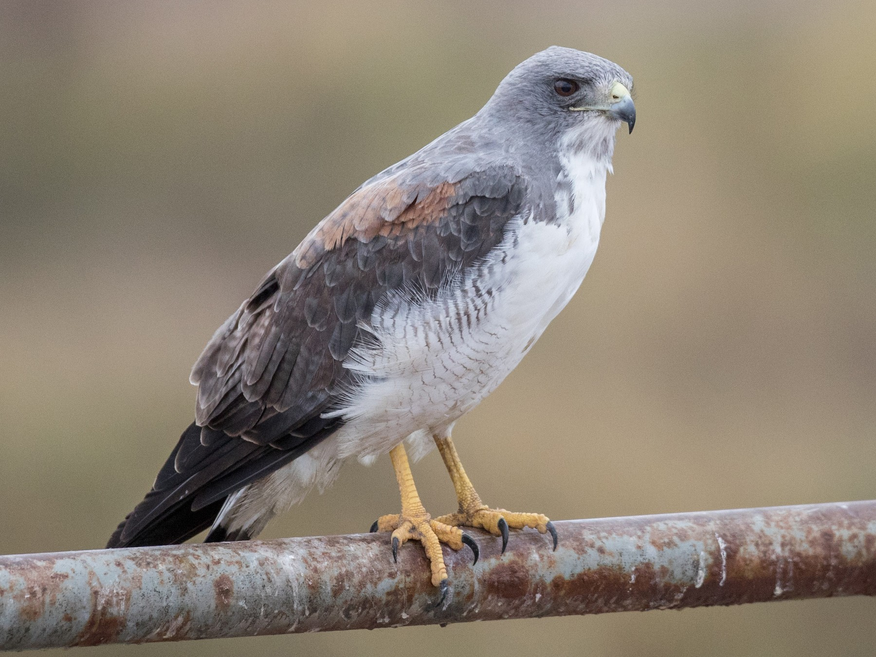 White-tailed Hawk - Ian Davies