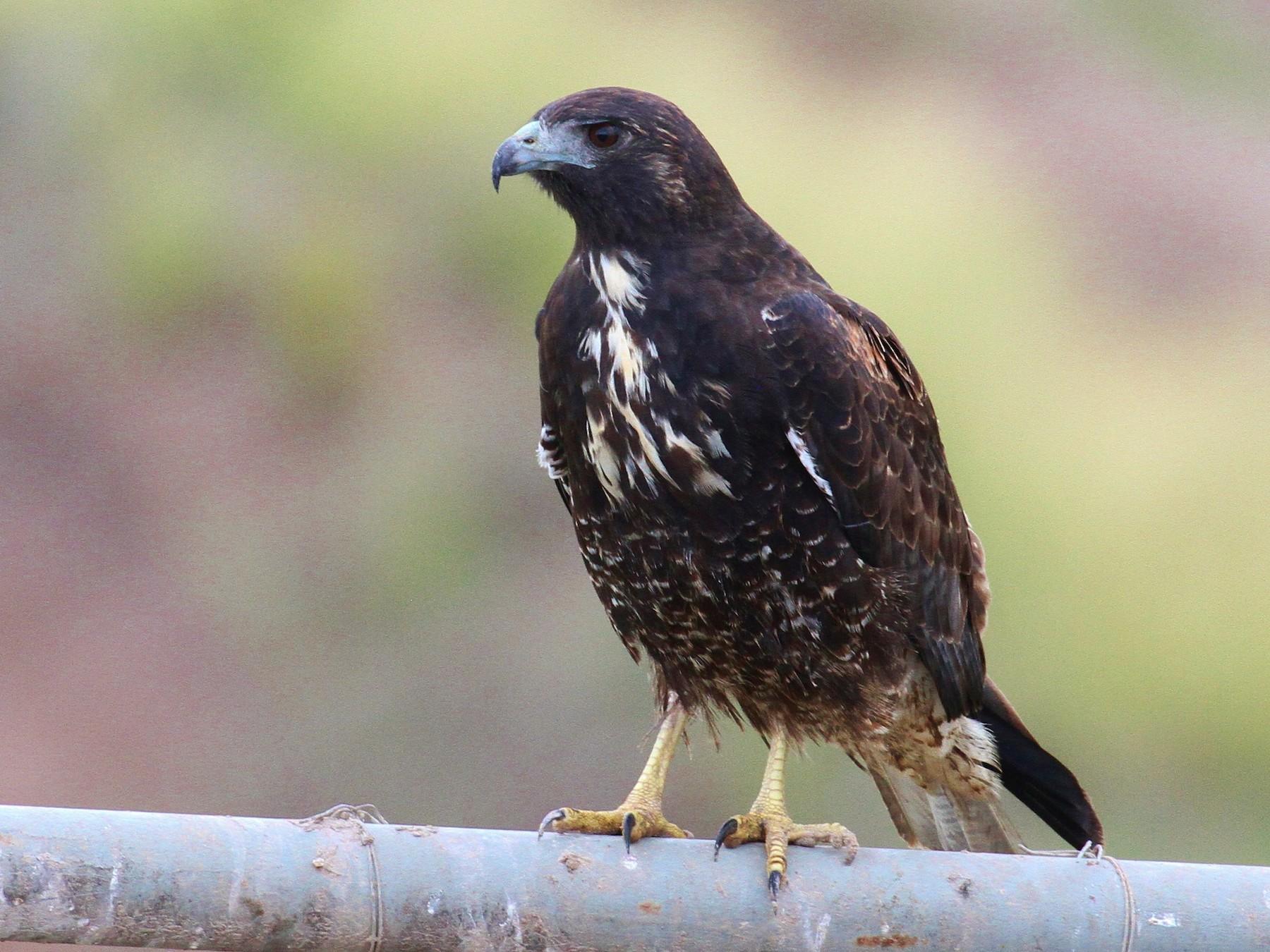 White-tailed Hawk - Alex Lamoreaux