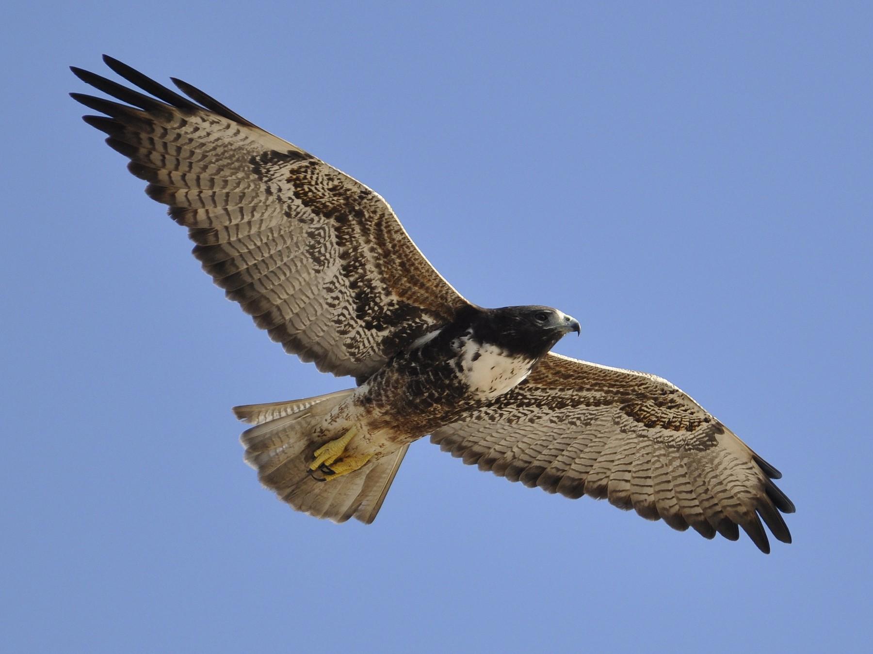 White-tailed Hawk - brendan galvin