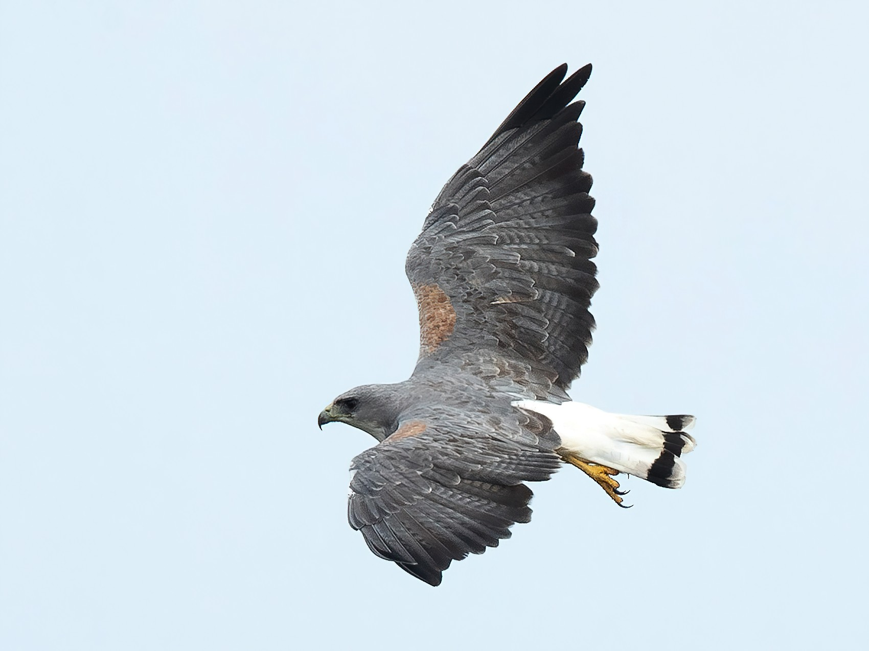 White-tailed Hawk - Mike Cameron