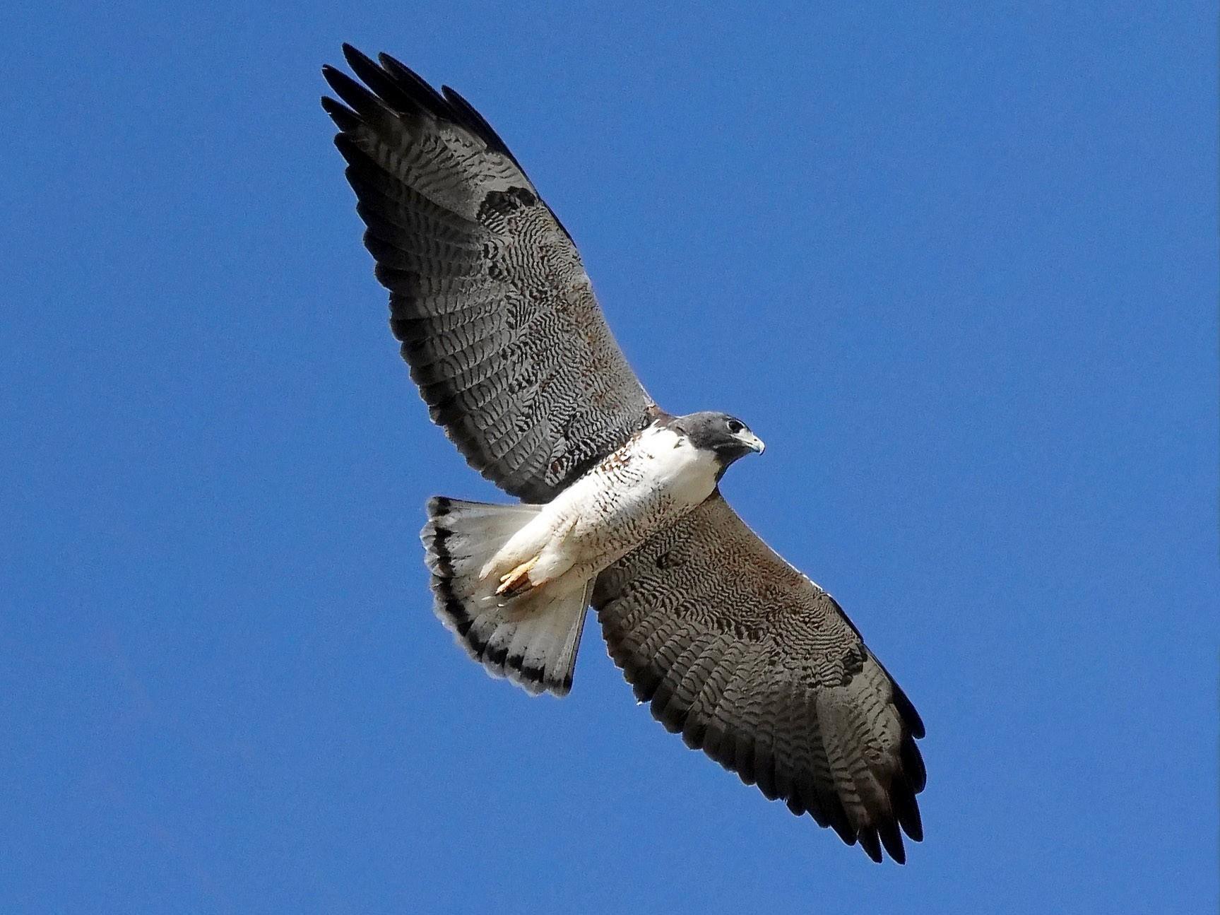 White-tailed Hawk - Sibylle Hechtel