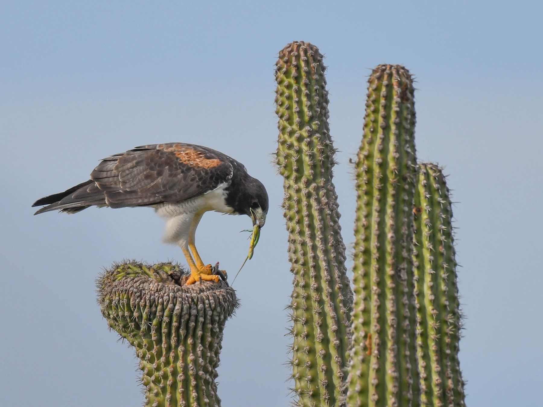 White-tailed Hawk - Carlos V. Sucre