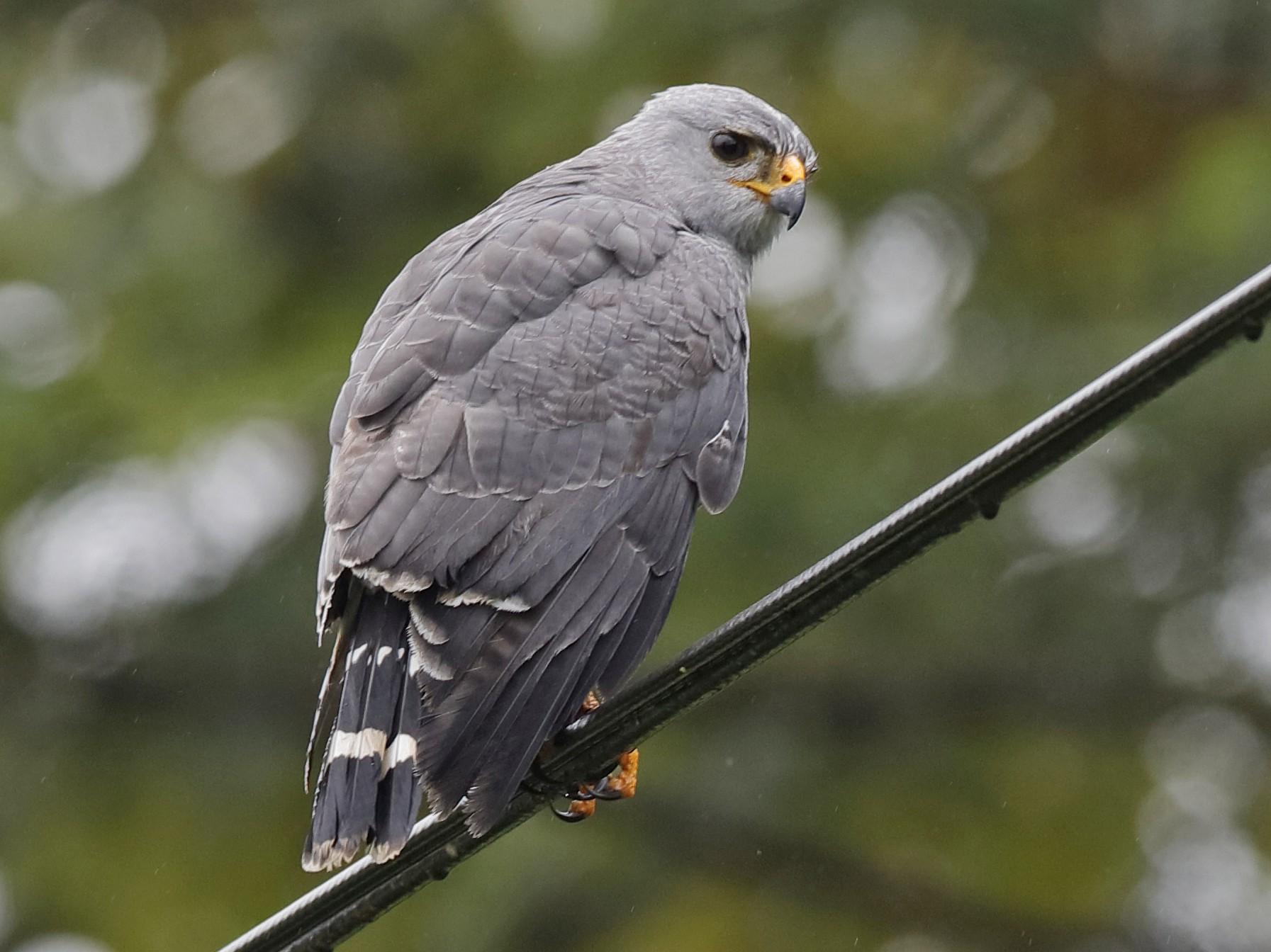 Gray Hawk - Holger Teichmann