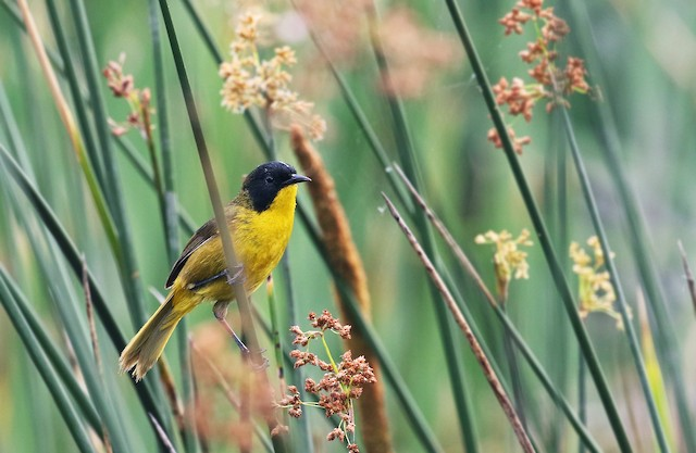 Black-polled Yellowthroat
