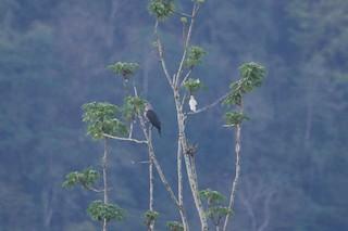 Dark-backed Imperial-Pigeon