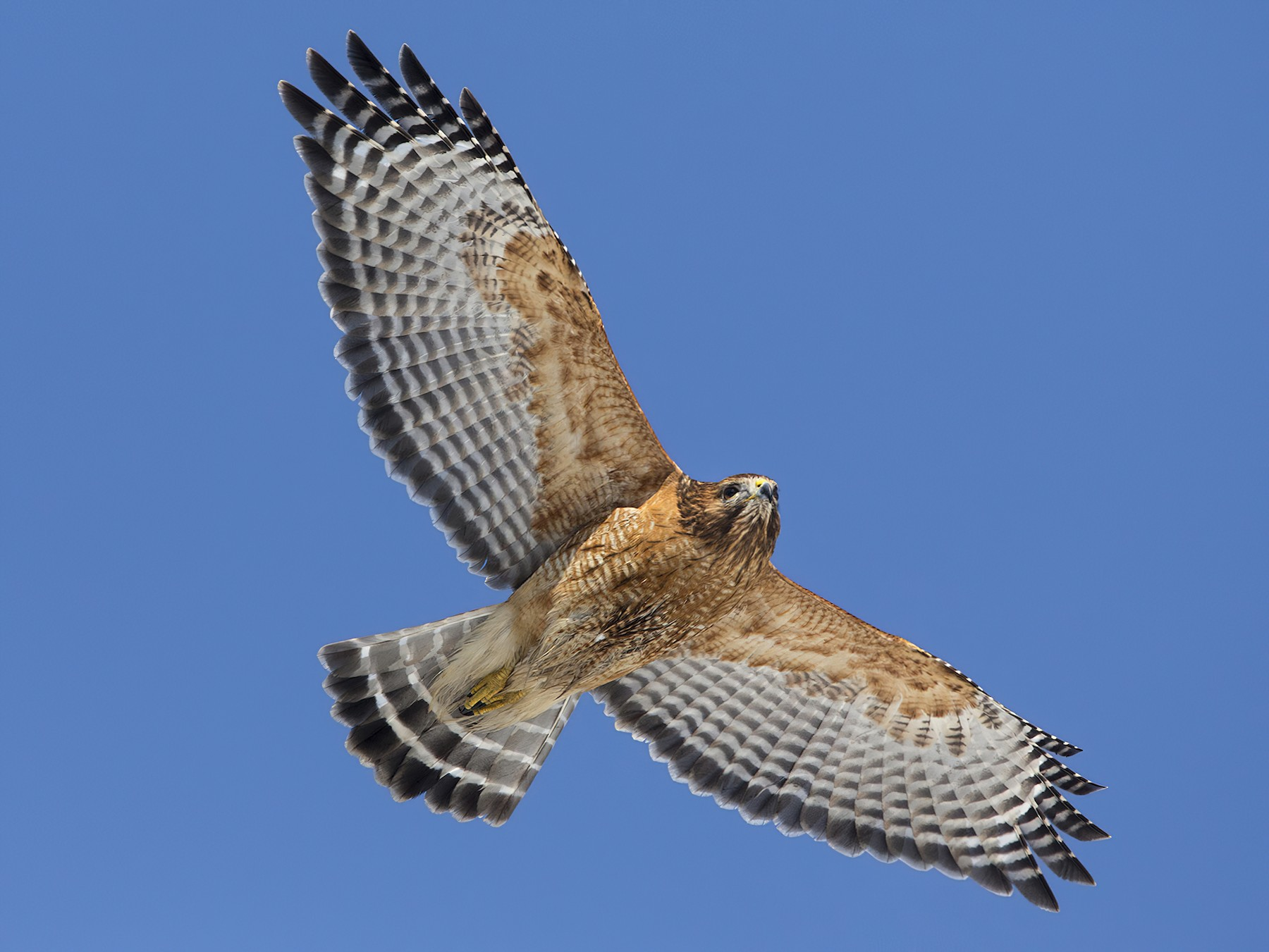 Red-shouldered Hawk - Bob MacDonnell