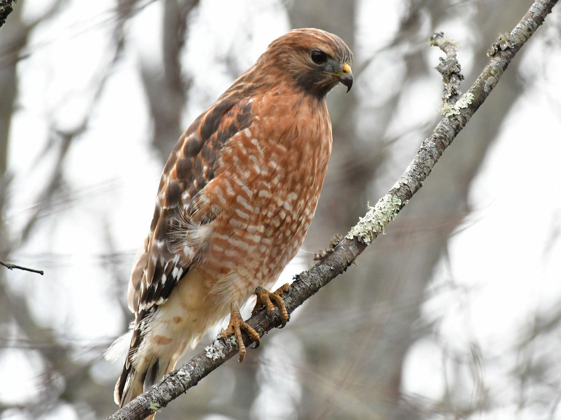 Red-shouldered Hawk - Eric Keith