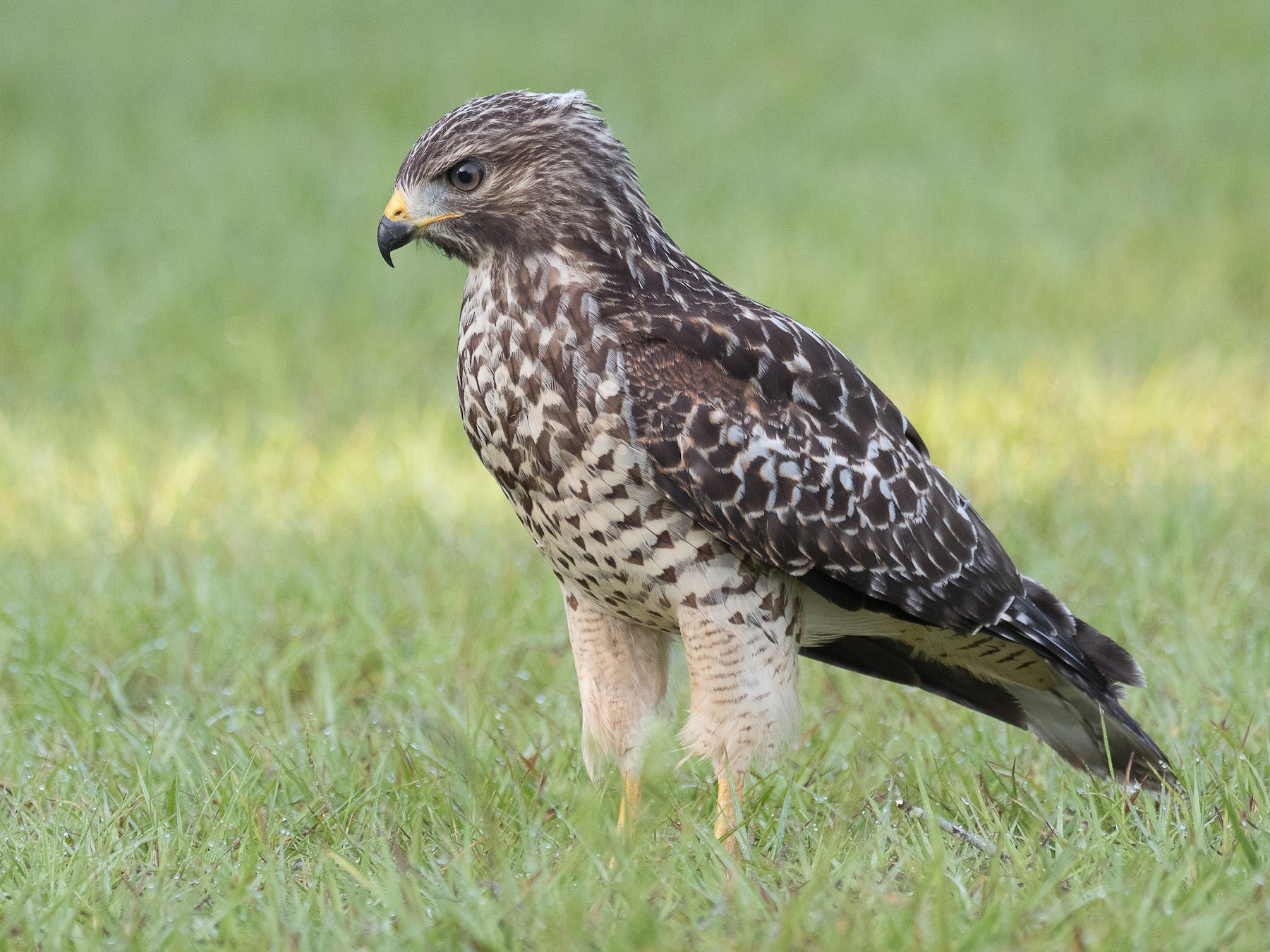Red-shouldered Hawk - Lynette Spence