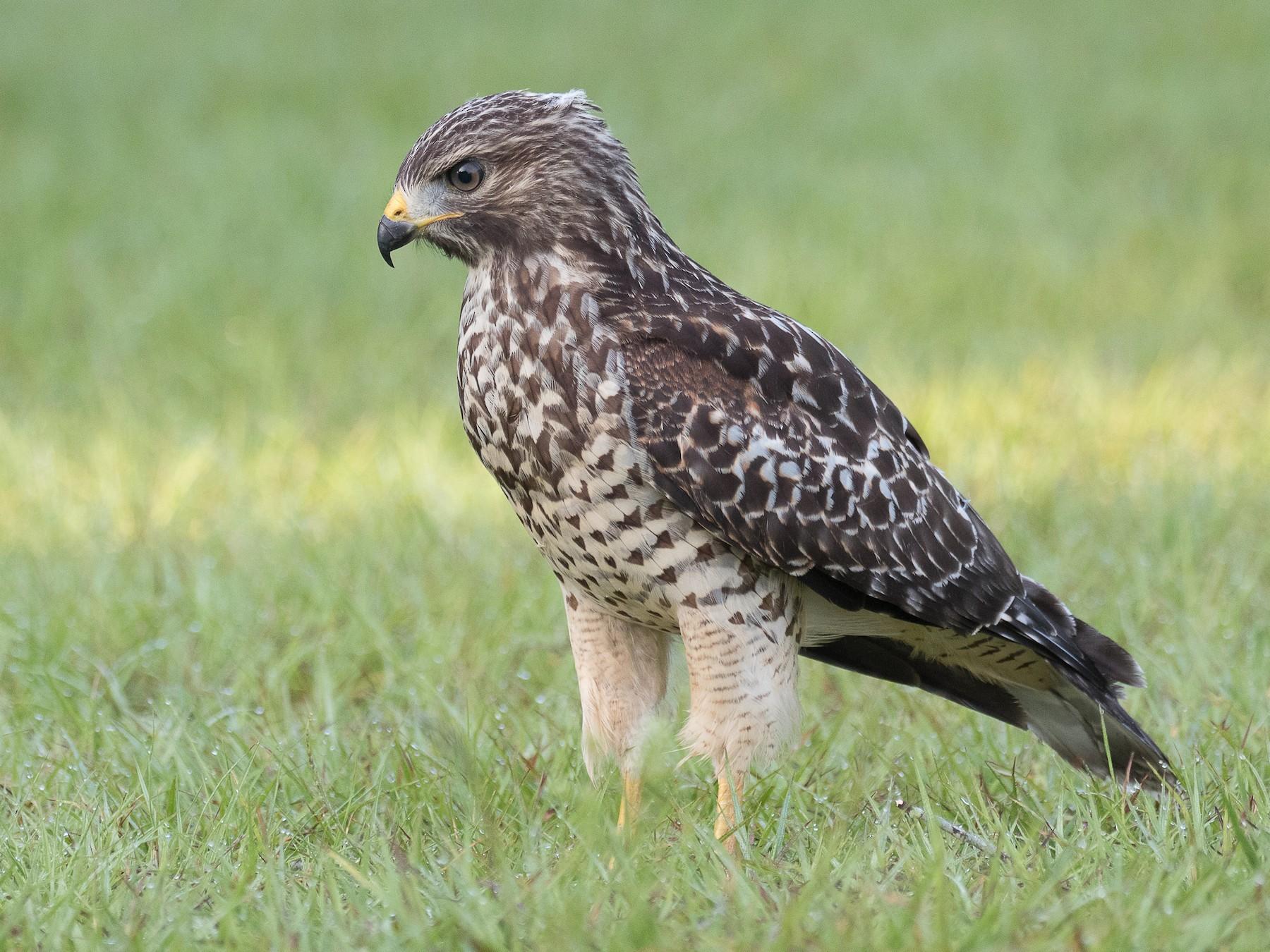 Red-shouldered Hawk - Lynette Spence