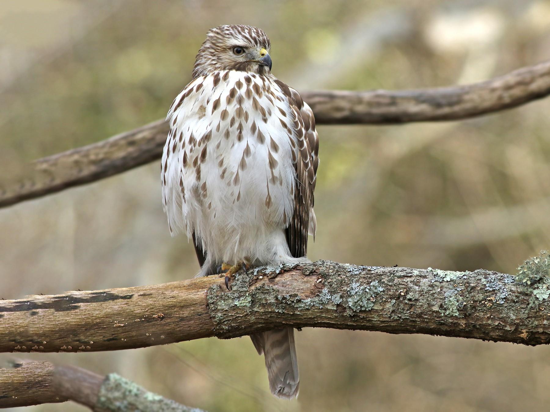 Red-shouldered Hawk - Jeremiah Trimble