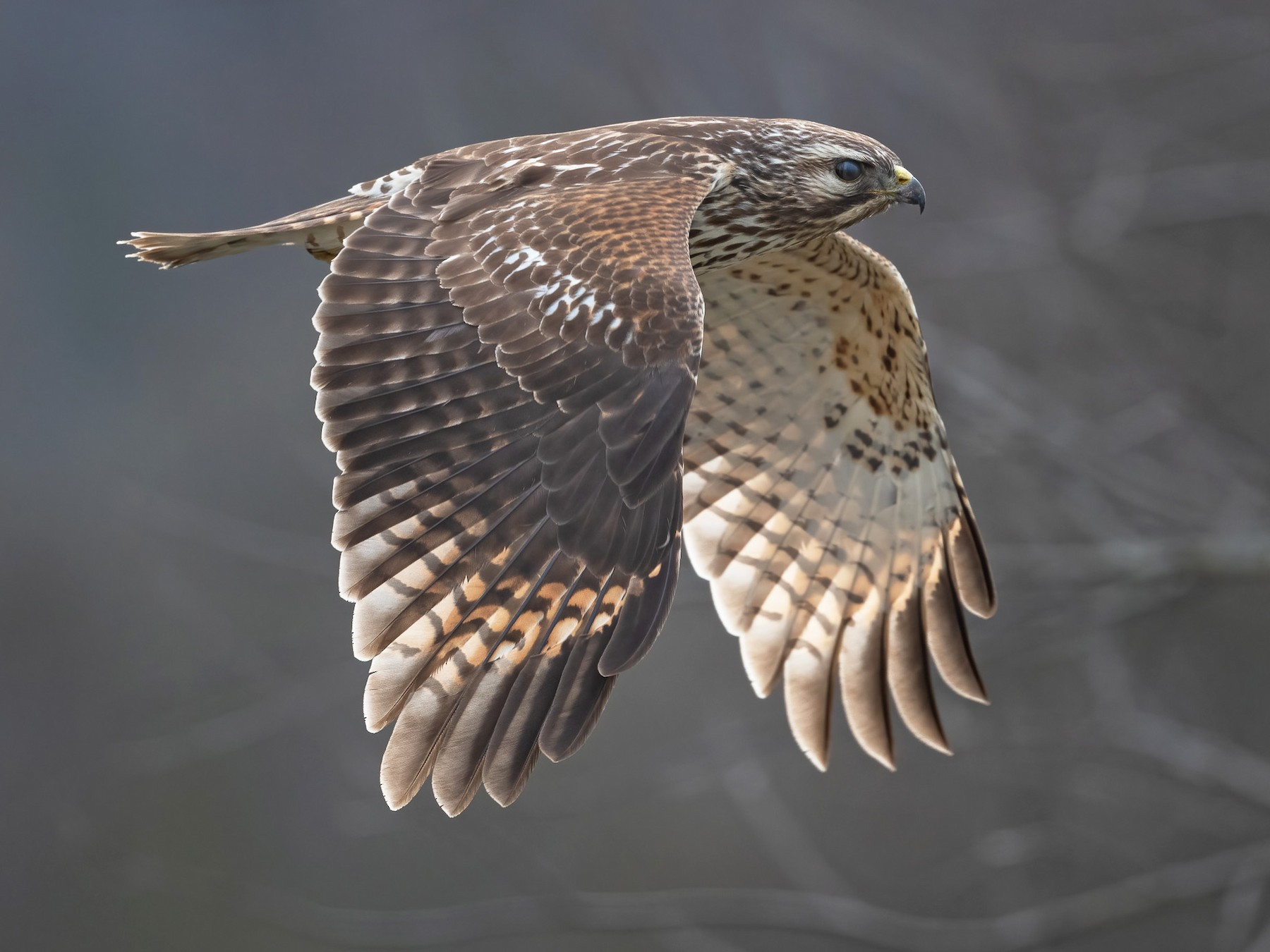 Red-shouldered Hawk - Graham Gerdeman