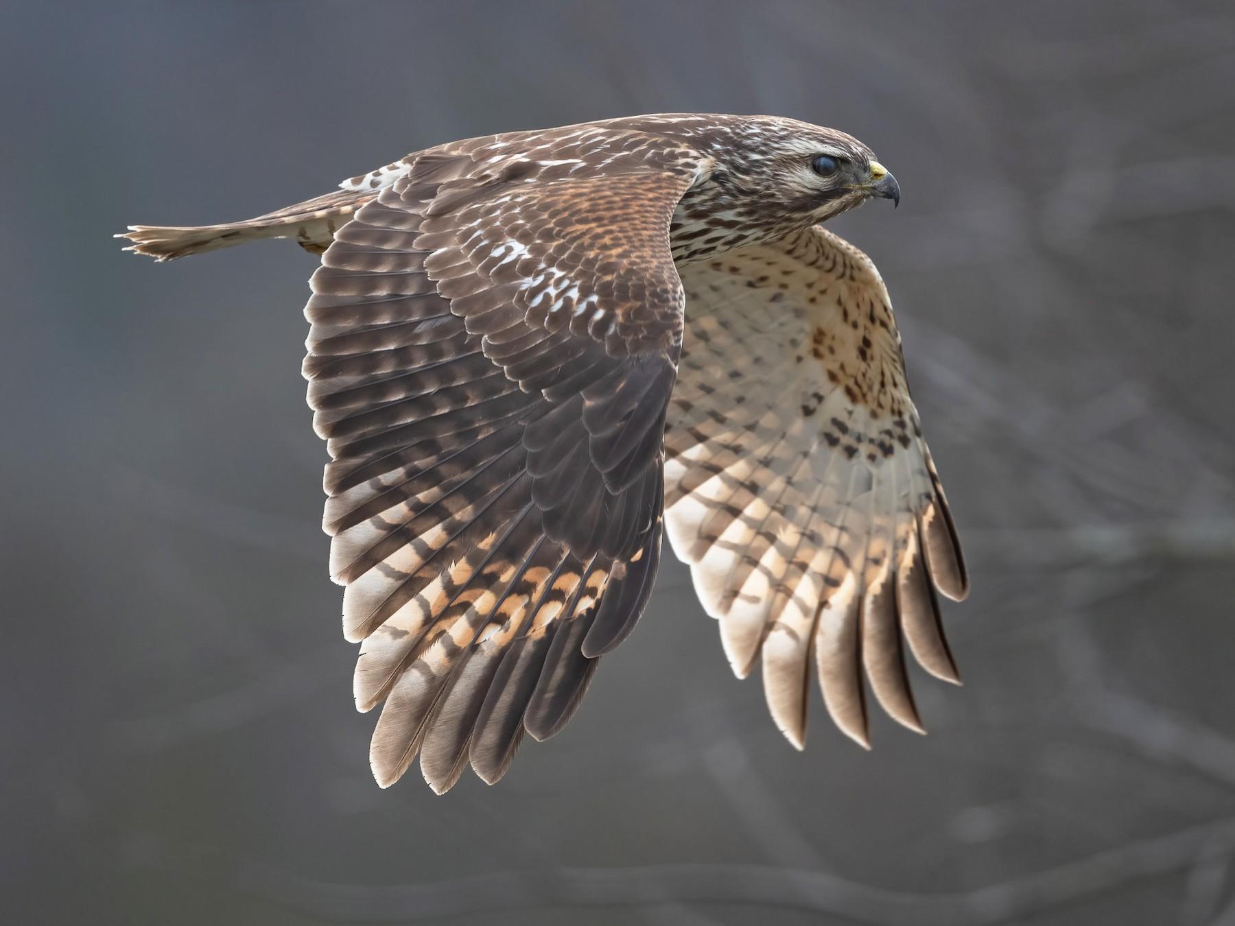 Red-shouldered Hawk - Graham Gerdeman