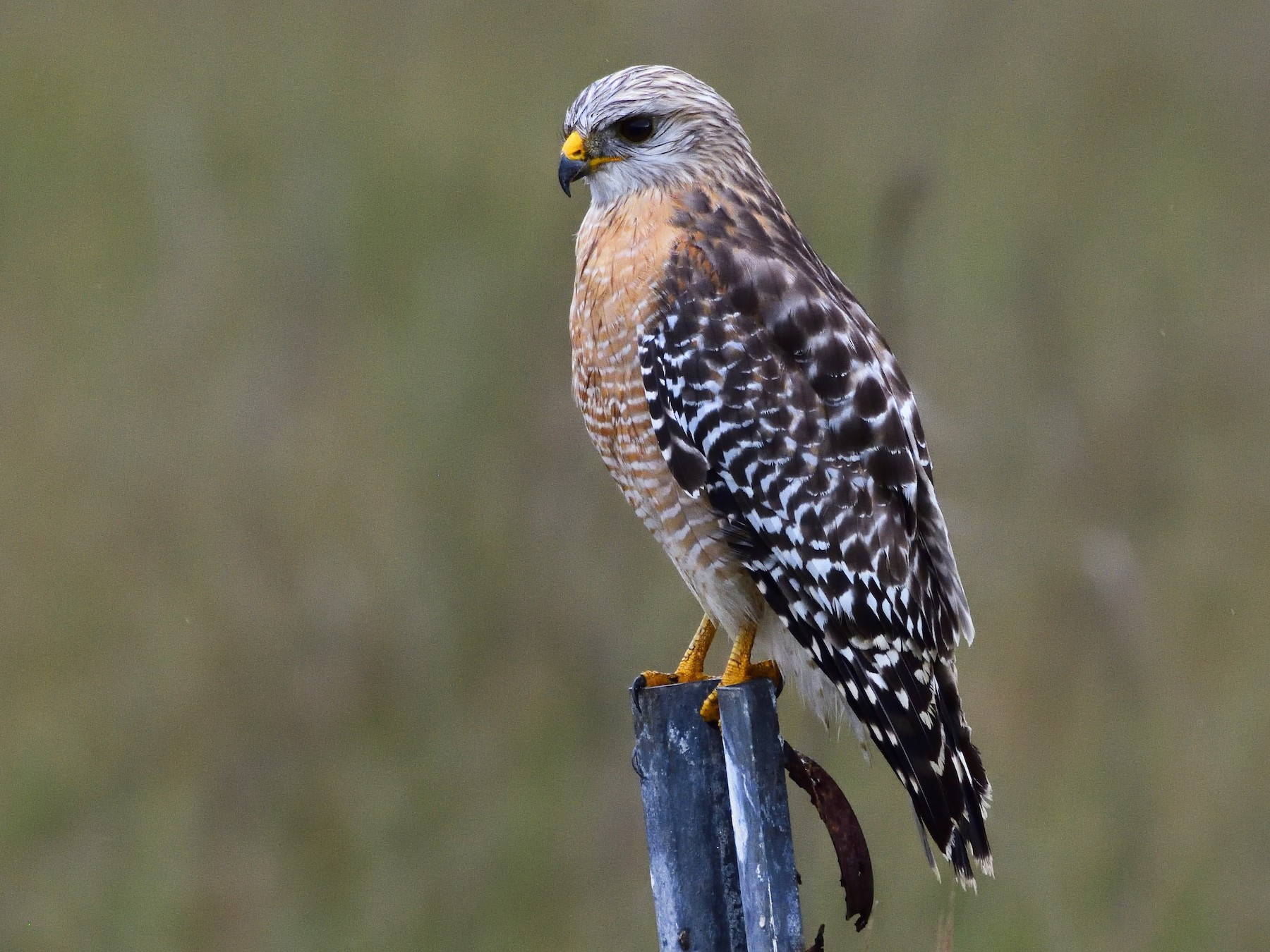 Red-shouldered Hawk - Ad Konings